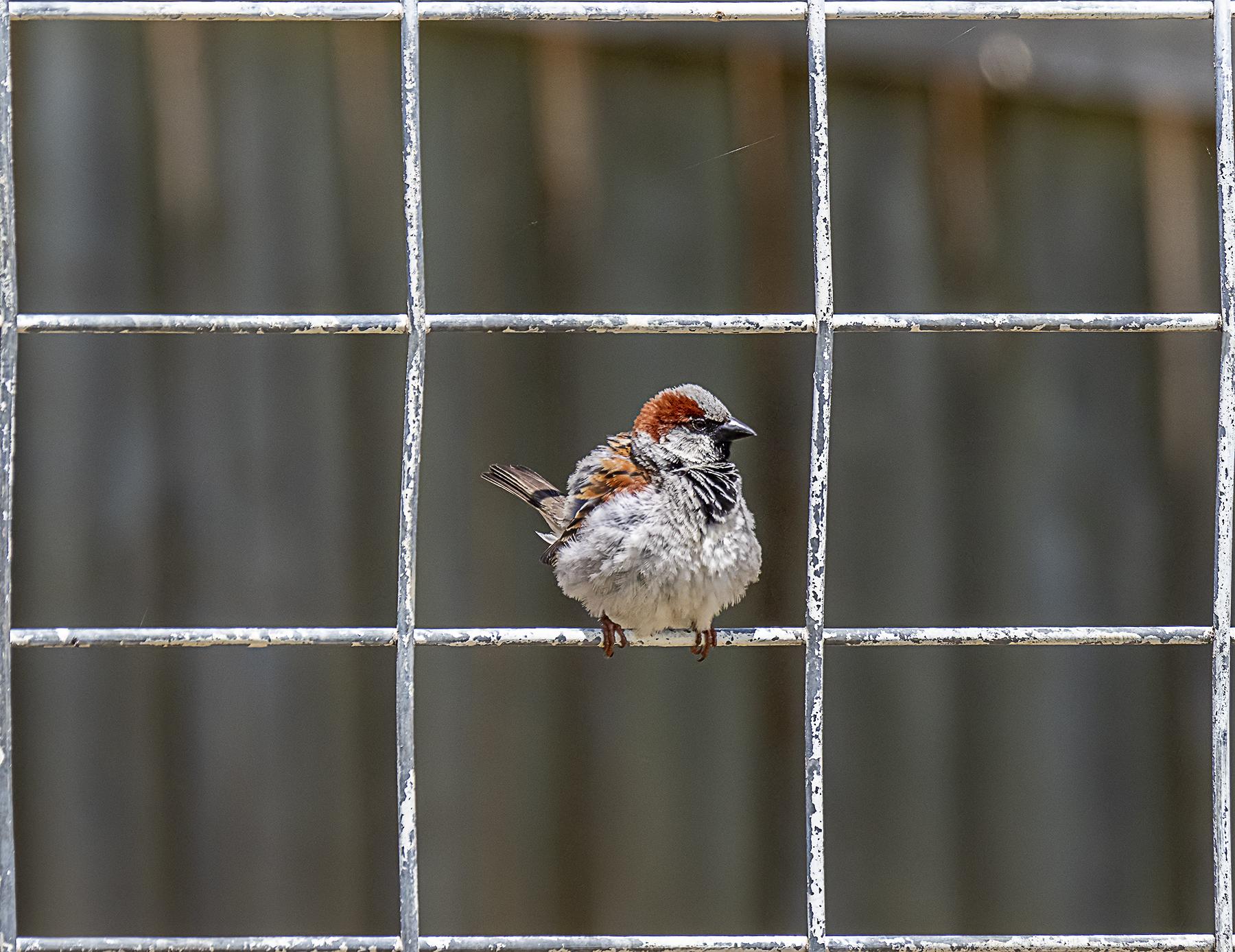 House Sparrow (Image ID 41782)