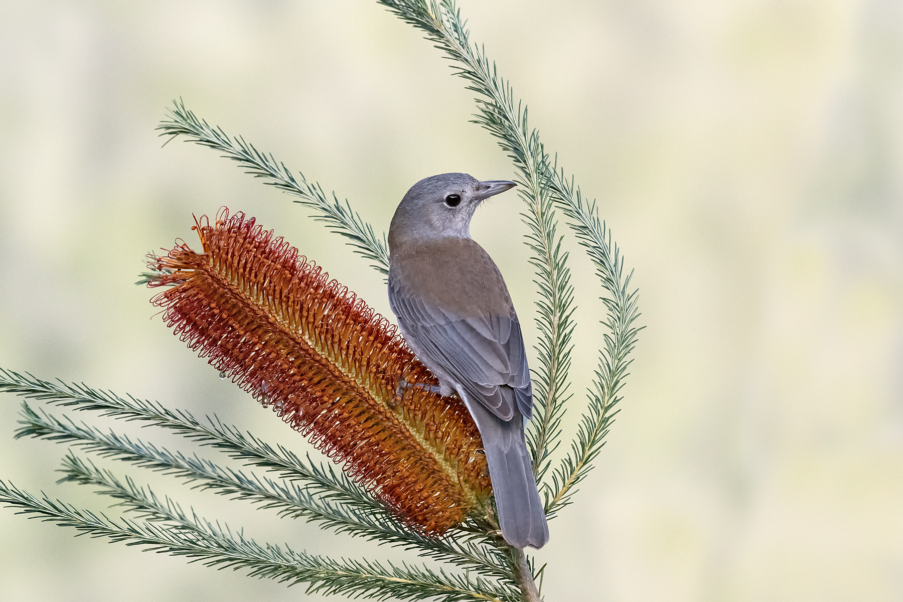 Grey Shrike-thrush (Image ID 41979)