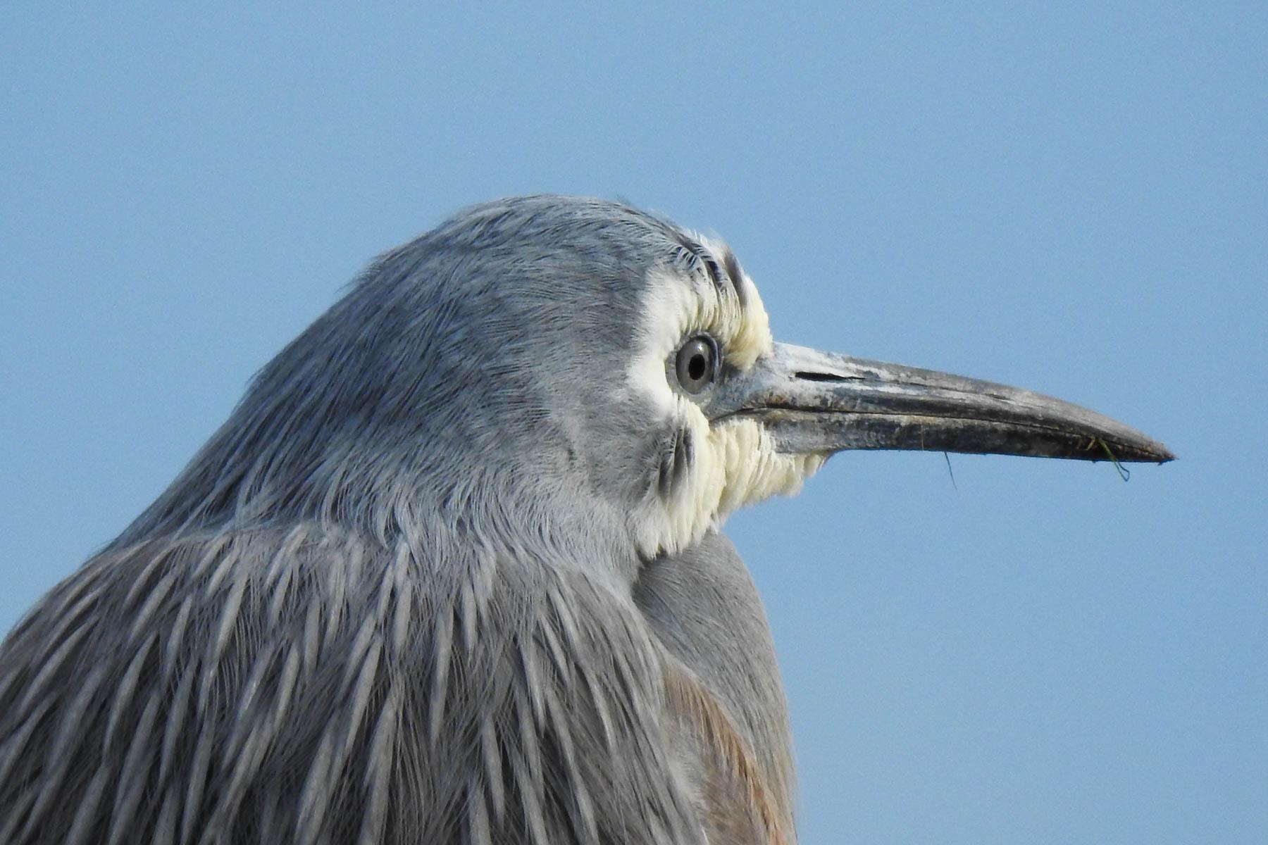 White-faced Heron (Image ID 41829)