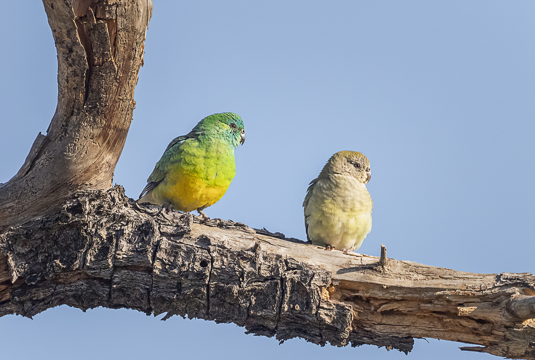 Red-rumped Parrot (Image ID 41839)