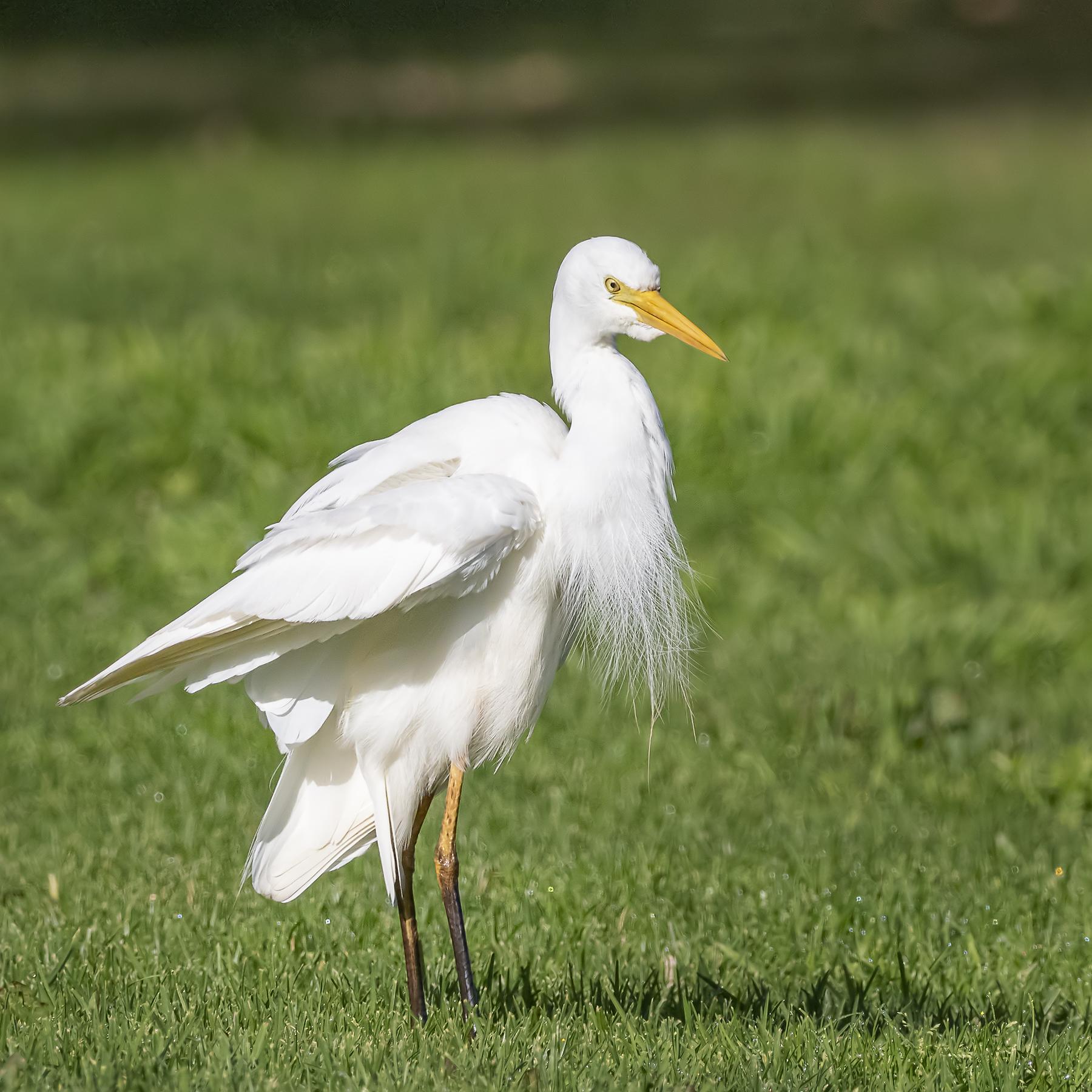 Plumed Egret (Image ID 41965)