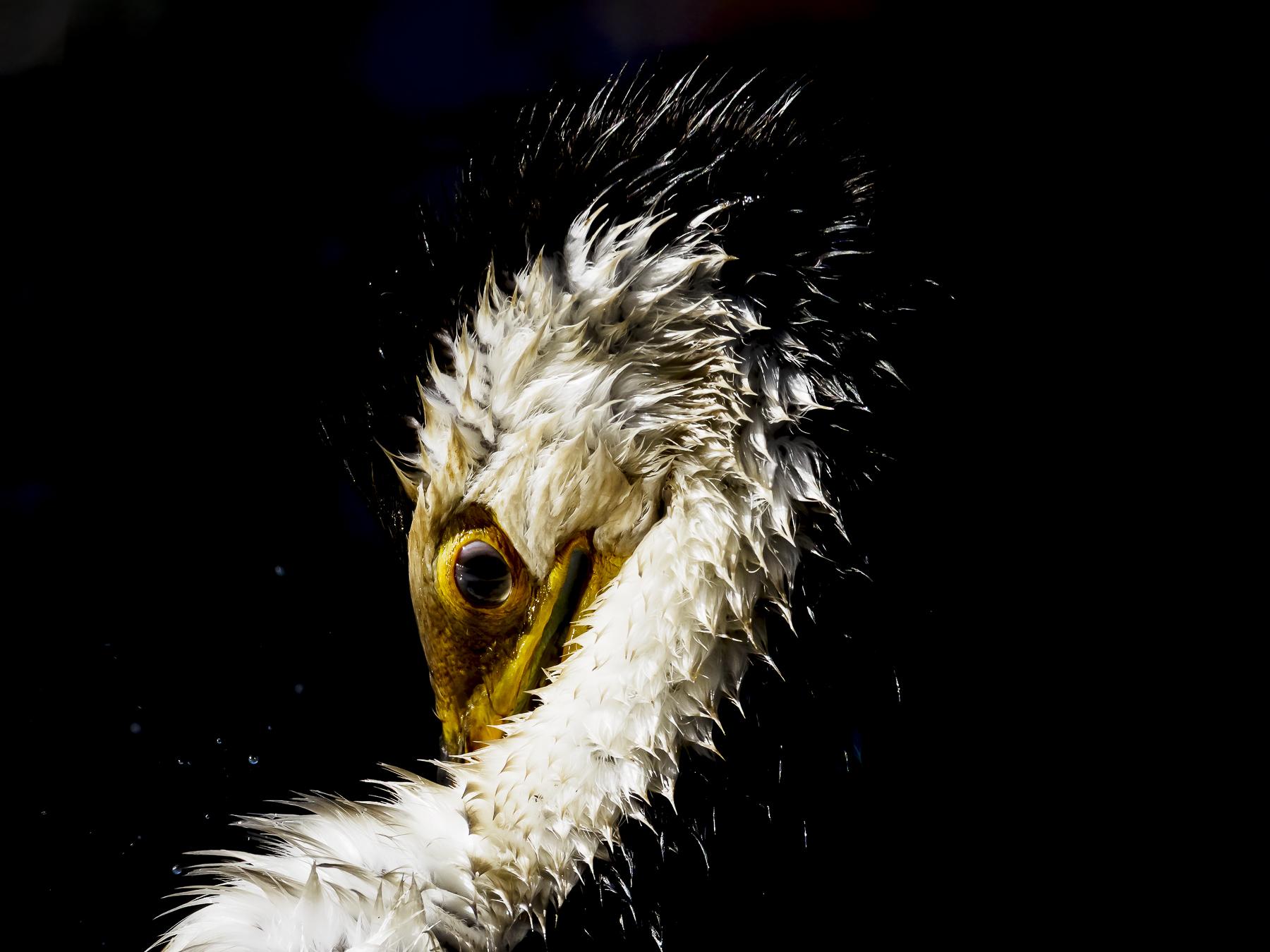 Little Pied Cormorant (Image ID 41735)
