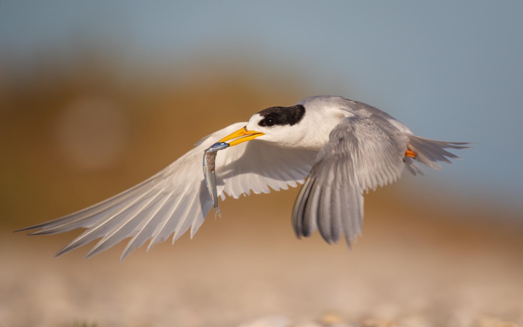 Fairy Tern (Image ID 41888)