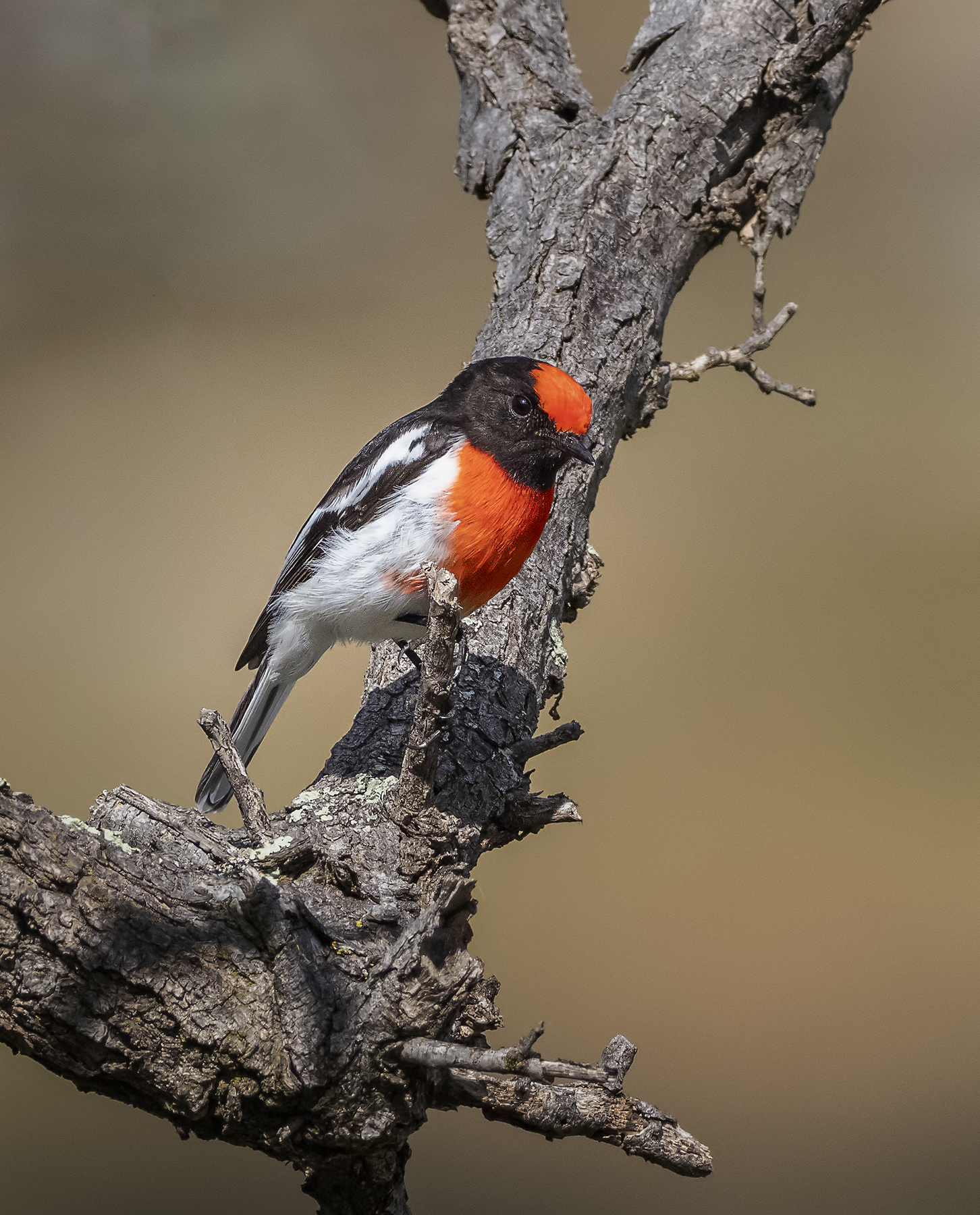Red-capped Robin (Image ID 41916)