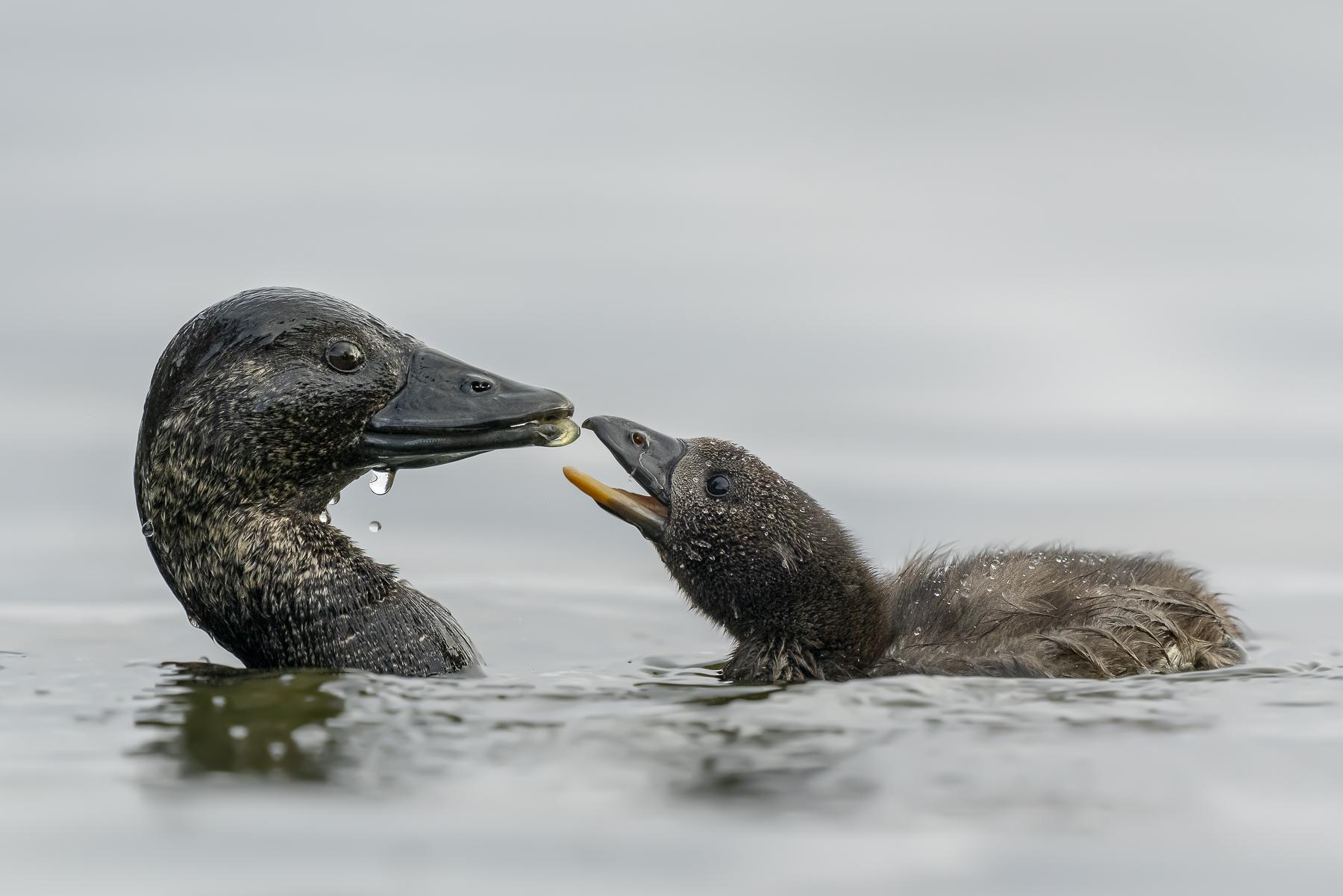 Musk Duck (Image ID 41677)
