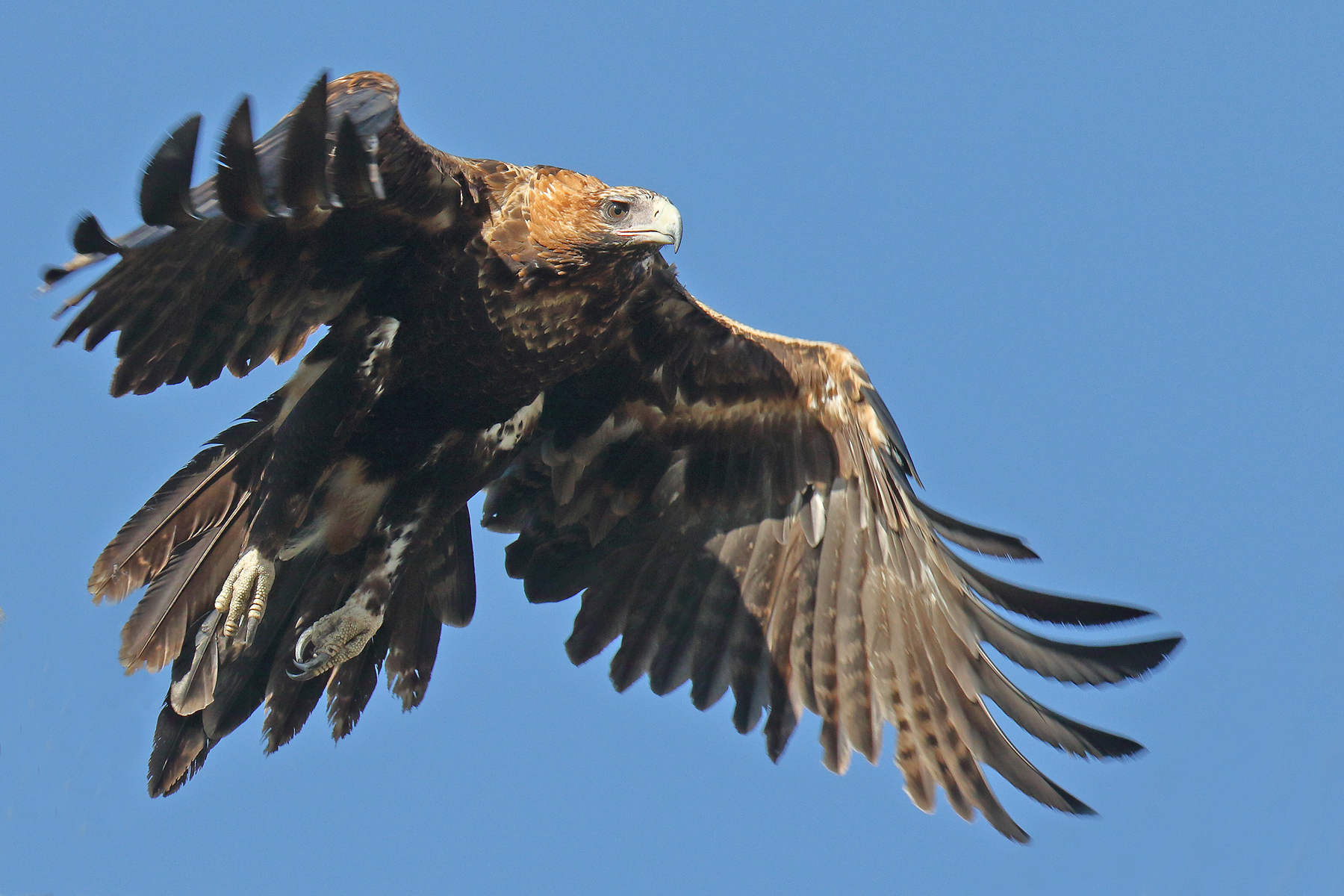 Wedge-tailed Eagle (Image ID 41866)