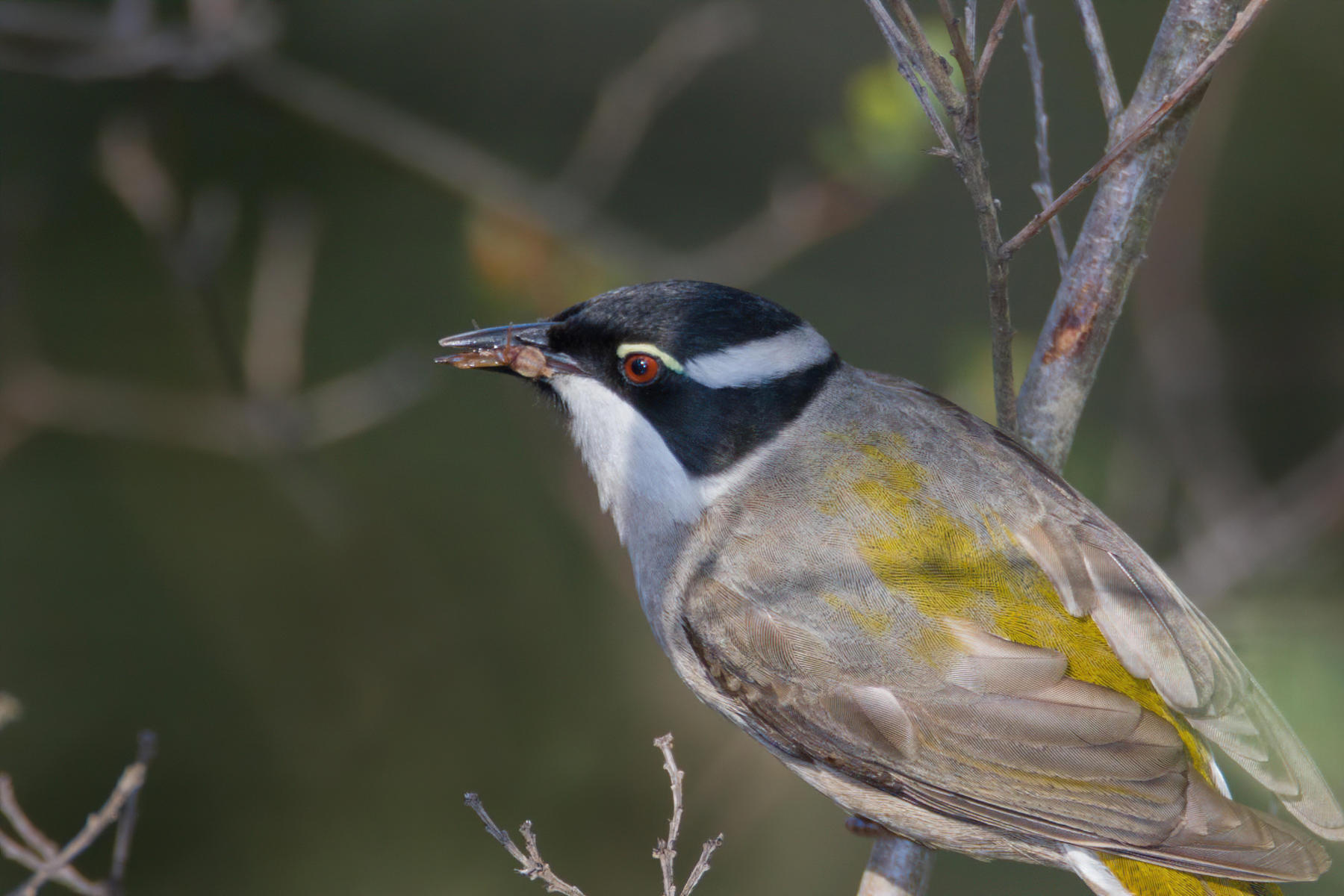 Strong-billed Honeyeater (Image ID 41988)
