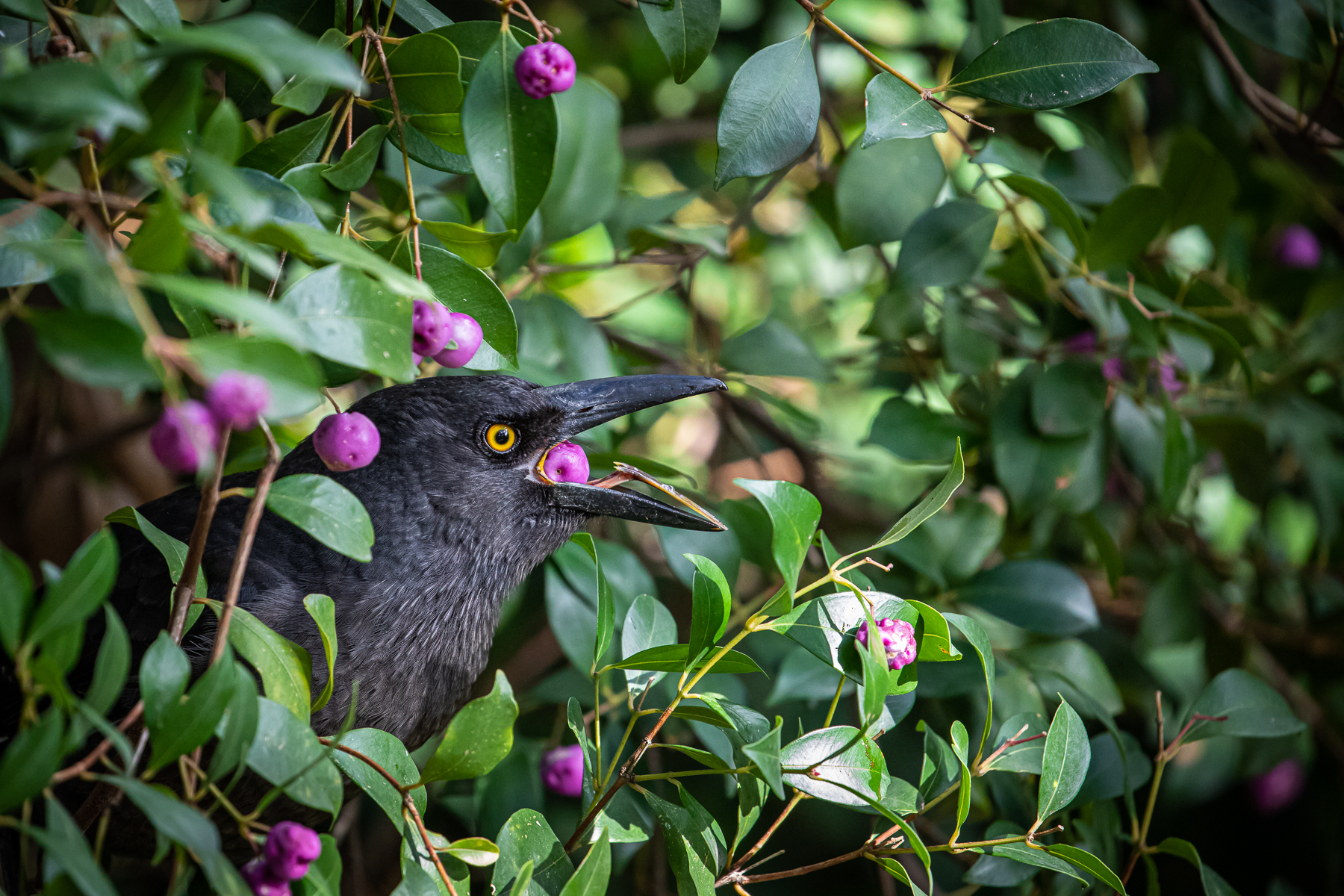 Pied Currawong (Image ID 41797)