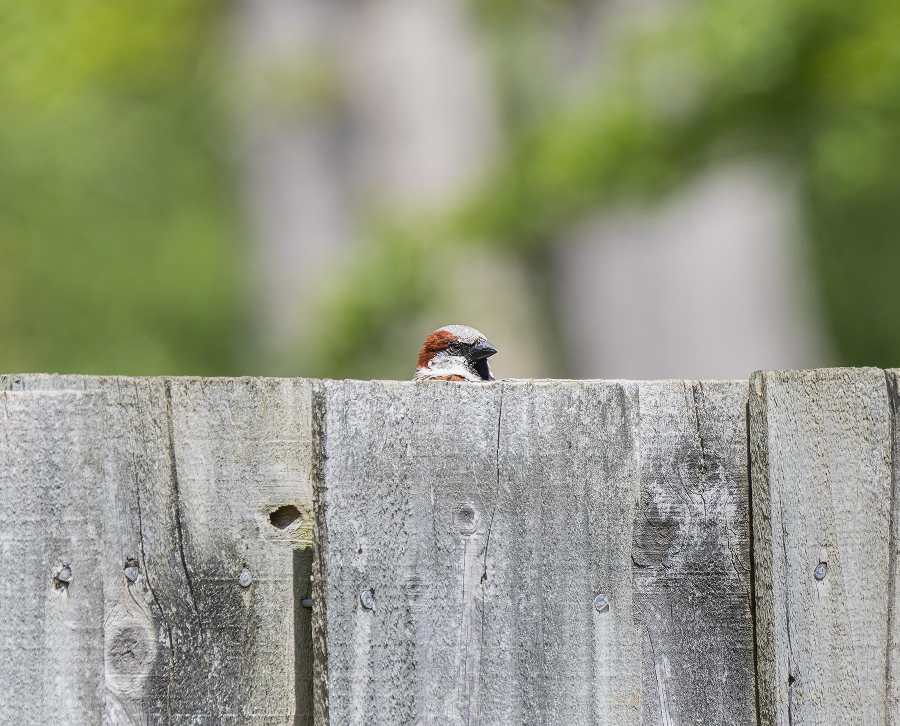 House Sparrow (Image ID 41781)