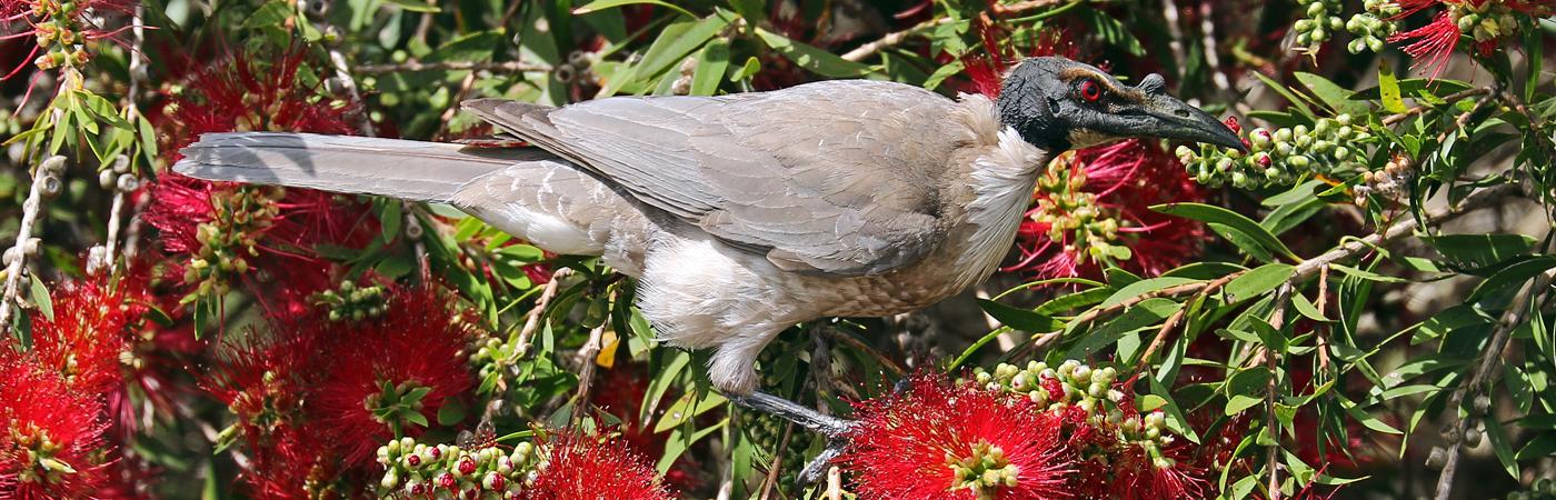 Noisy Friarbird (Image ID 42041)