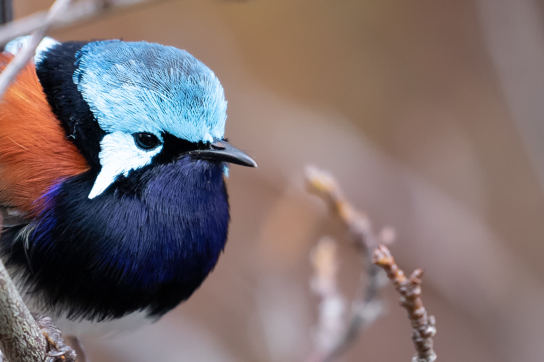 Red-winged Fairy-wren (Image ID 41612)