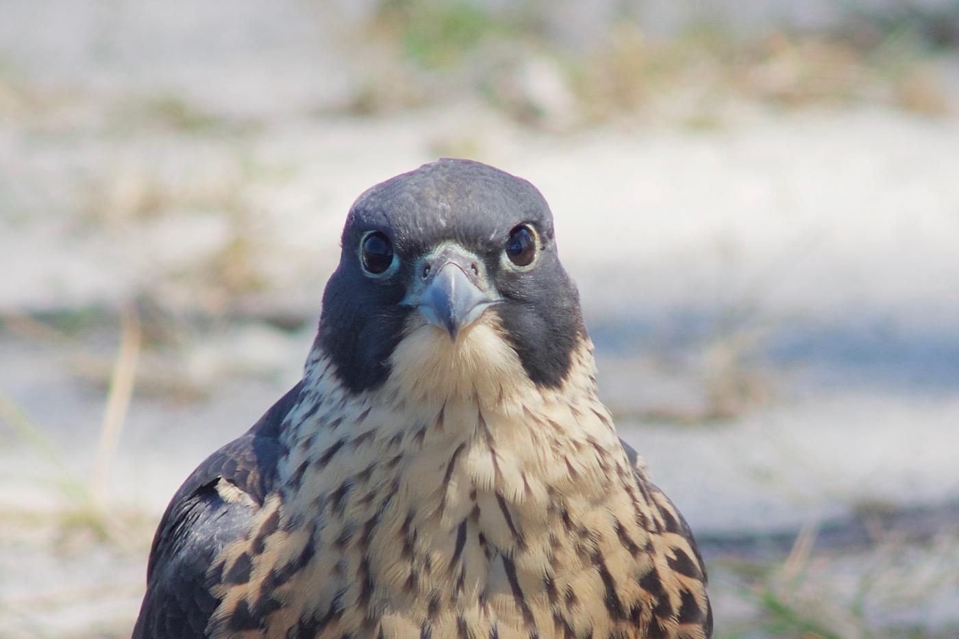 Peregrine Falcon (Image ID 41616)