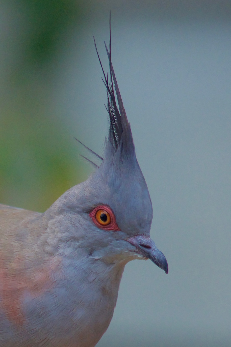 Crested Pigeon (Image ID 41673)