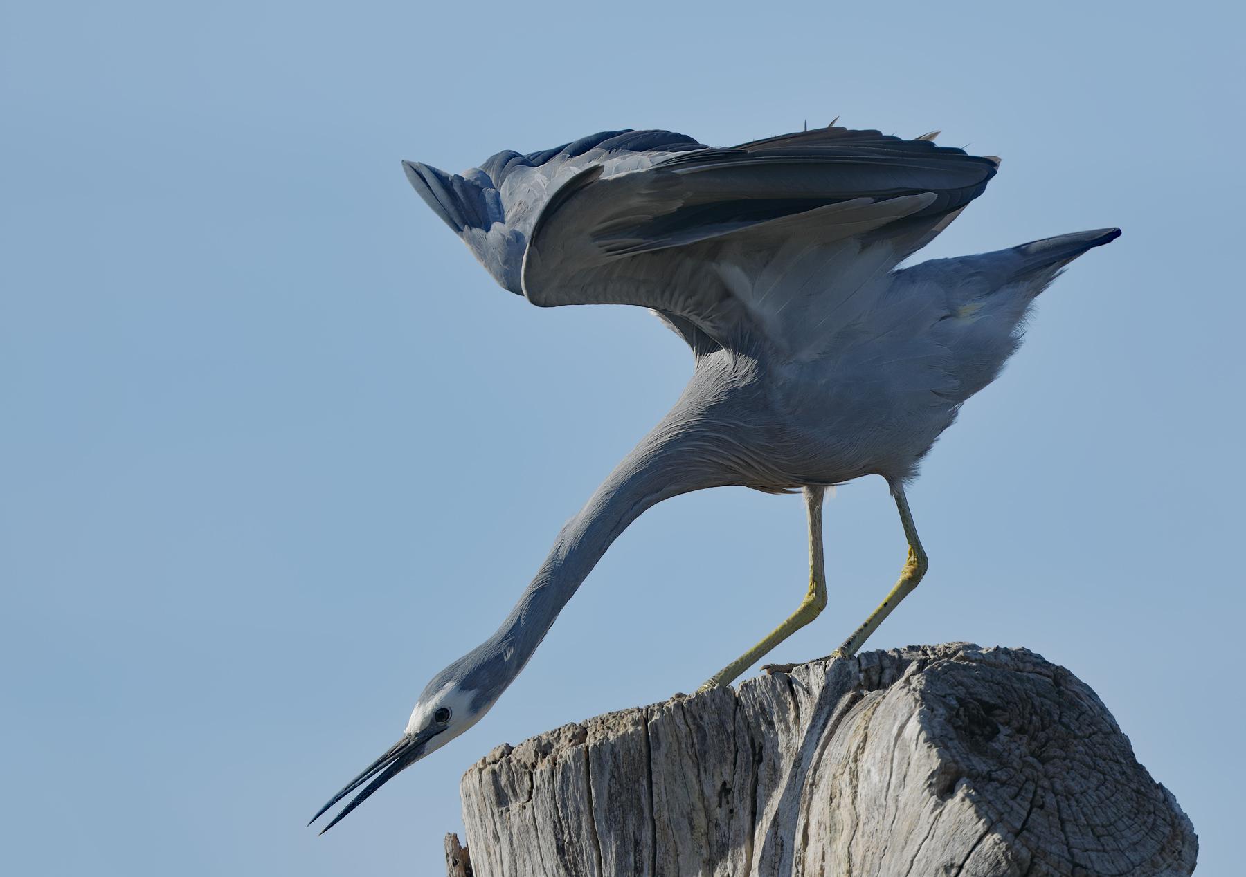 White-faced Heron (Image ID 41642)