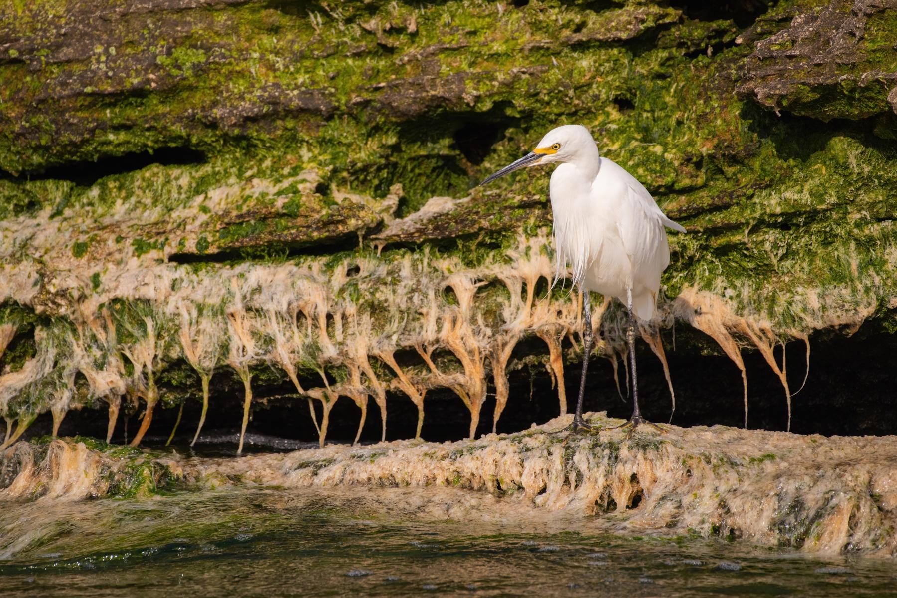 Little Egret (Image ID 41966)