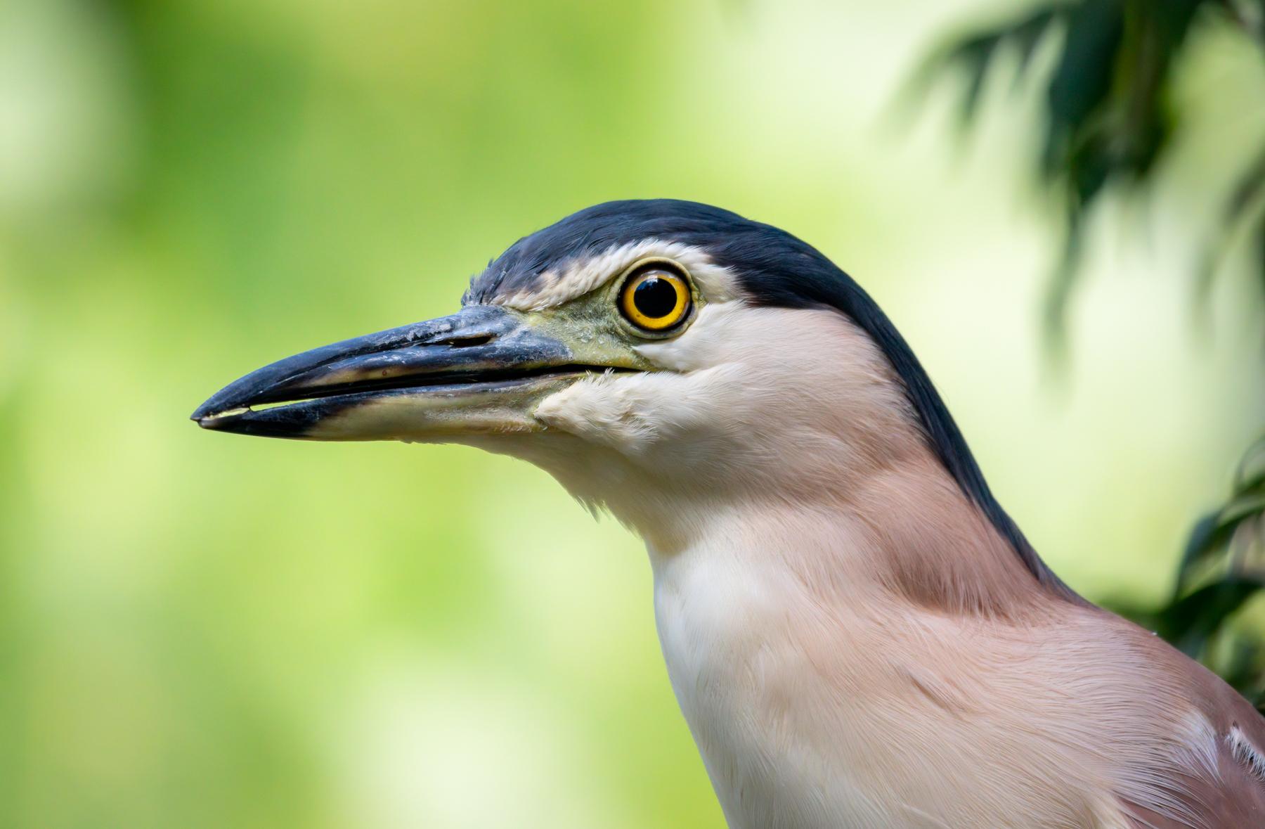 Nankeen Night-Heron (Image ID 41606)