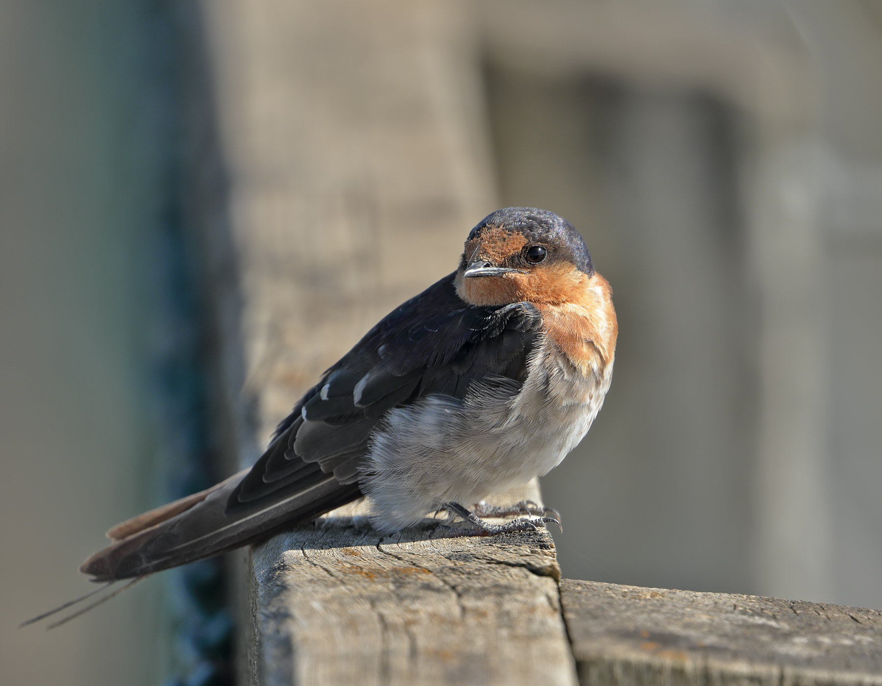 Welcome Swallow (Image ID 41679)