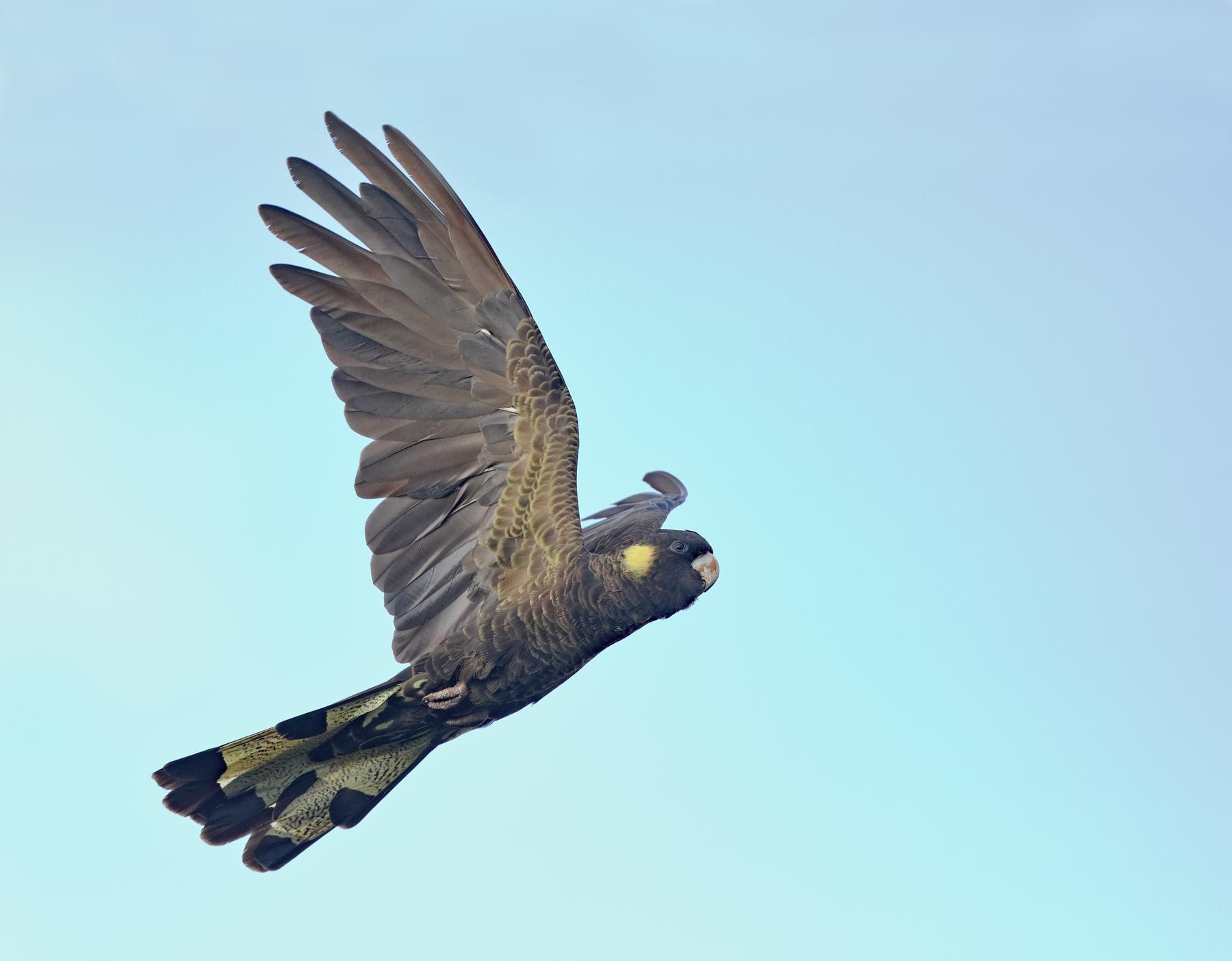 Yellow-tailed Black-Cockatoo (Image ID 41661)