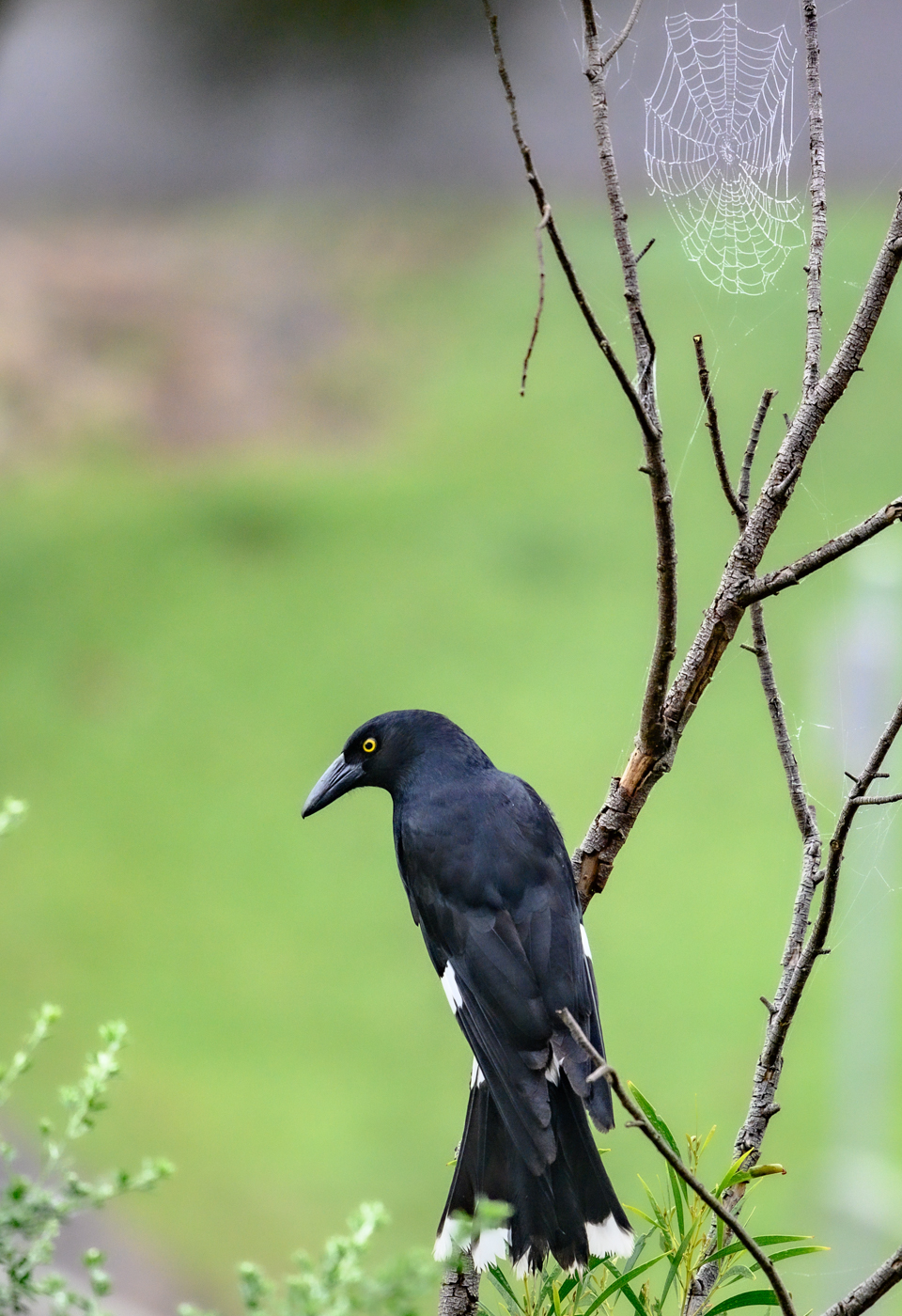 Pied Currawong (Image ID 41723)