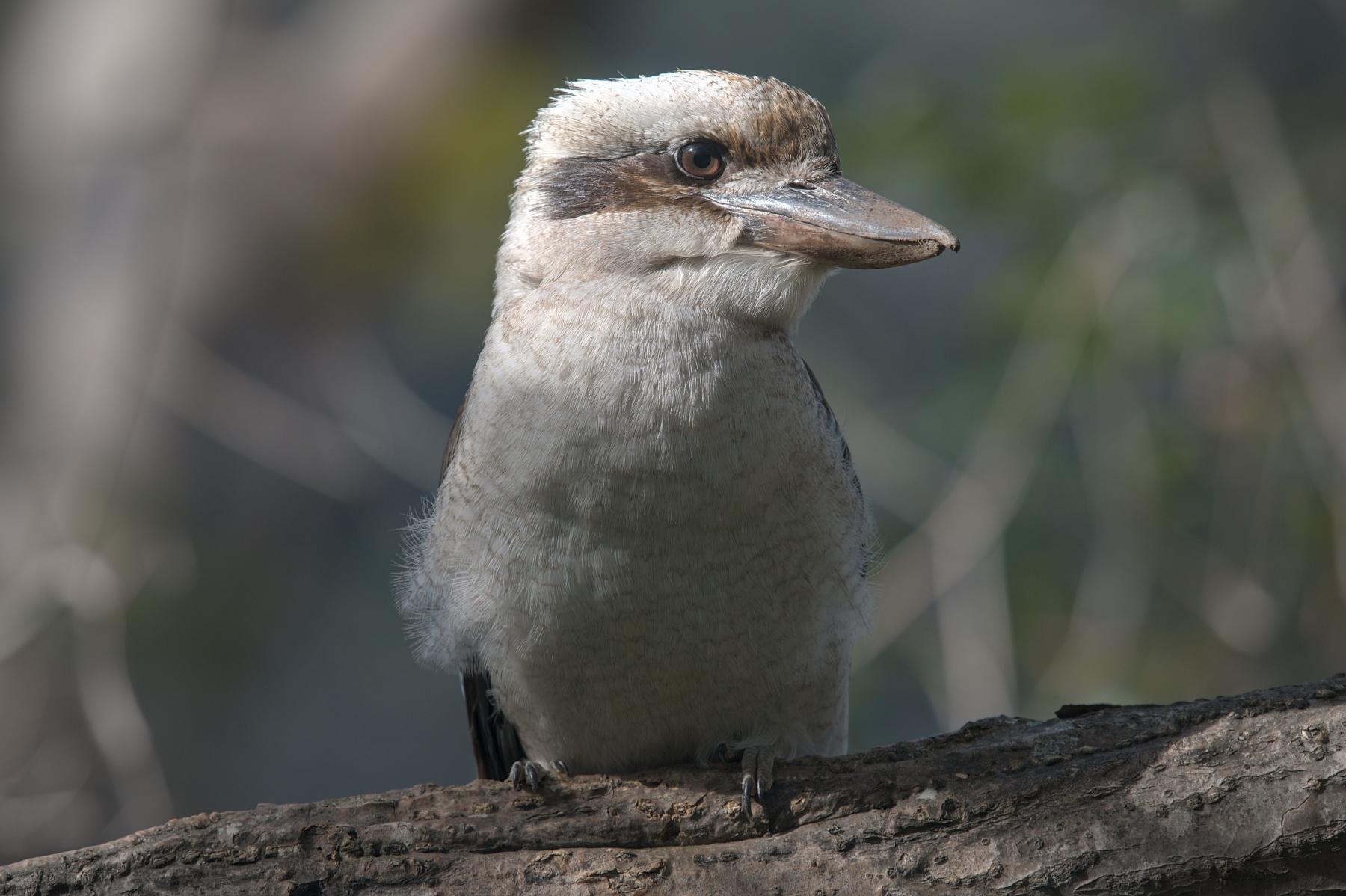 Laughing Kookaburra (Image ID 41958)