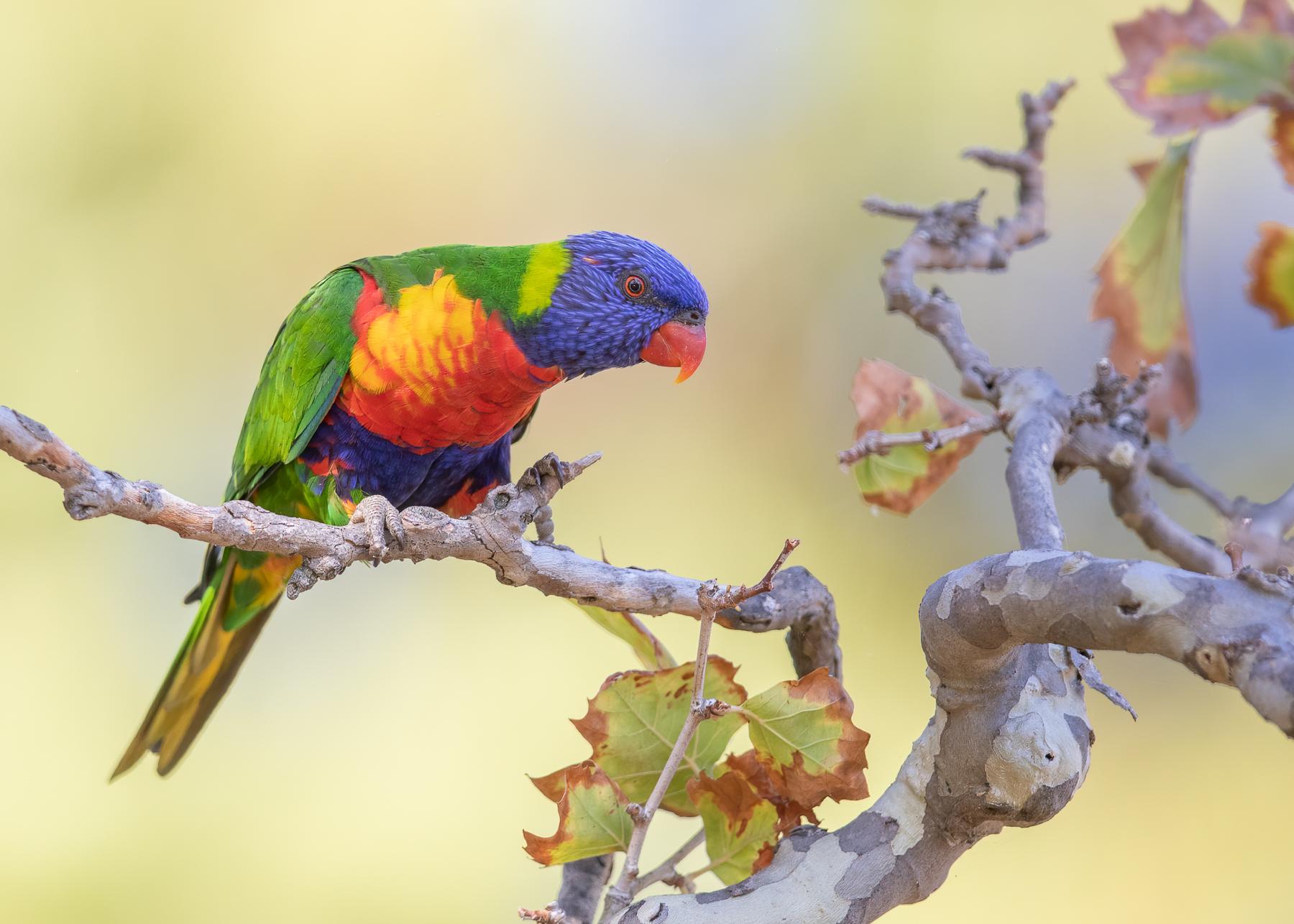 Rainbow Lorikeet (Image ID 41909)