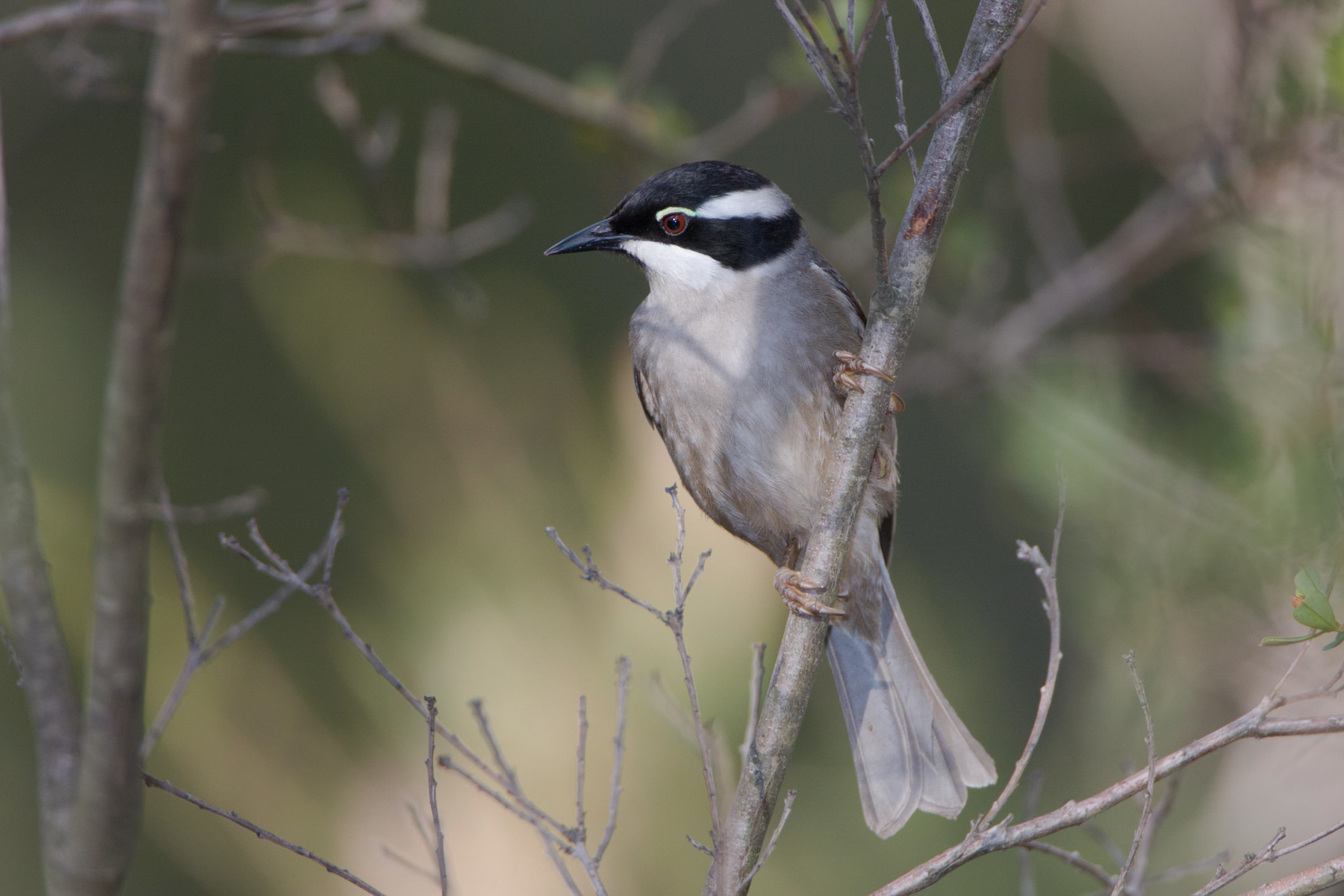 Strong-billed Honeyeater (Image ID 41980)