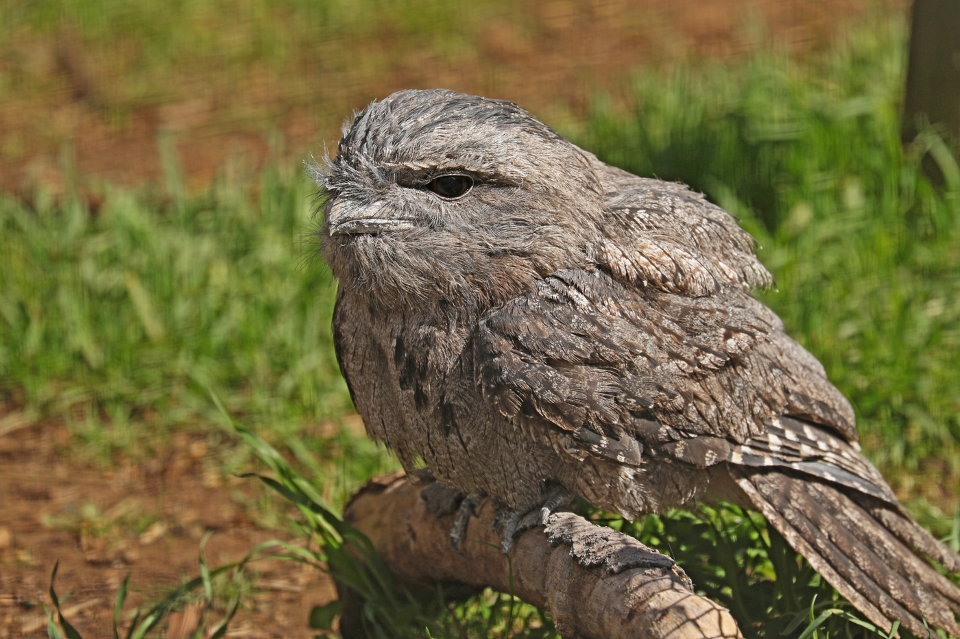 Tawny Frogmouth (Image ID 41962)