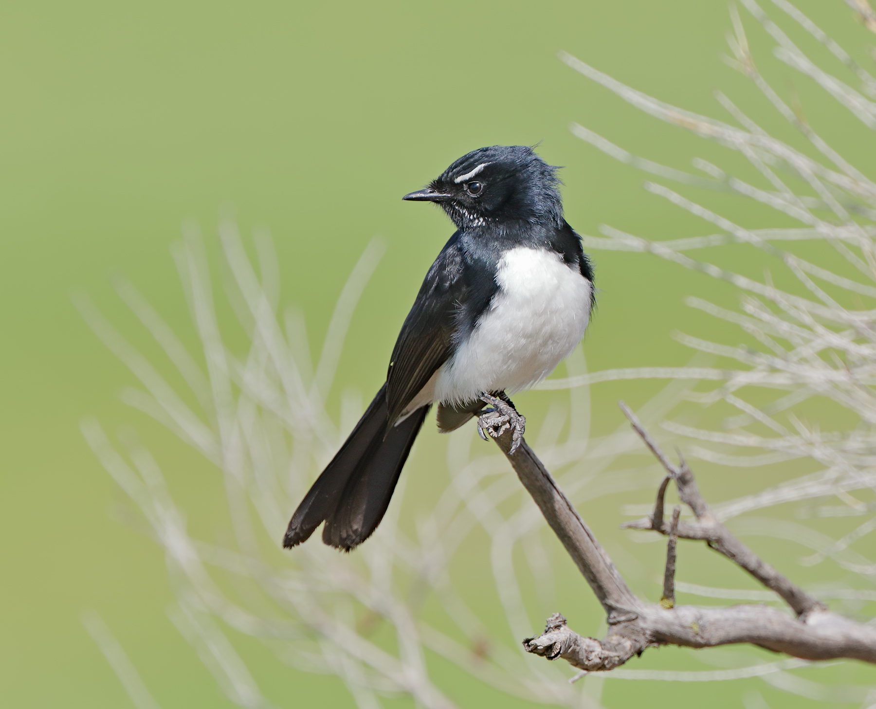 Willie Wagtail (Image ID 41945)