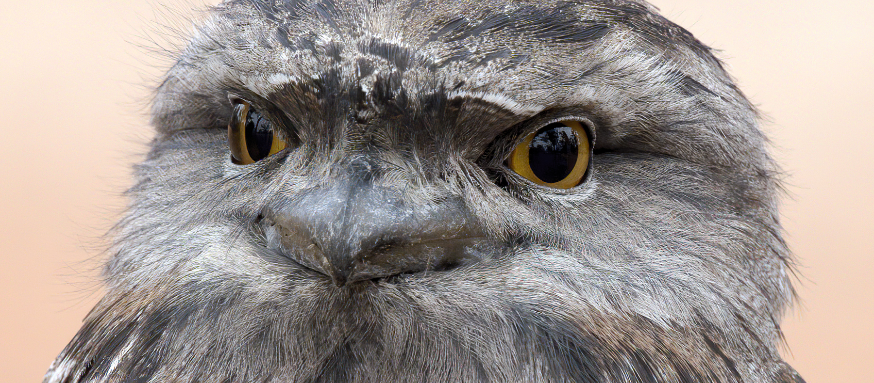 Tawny Frogmouth (Image ID 41836)