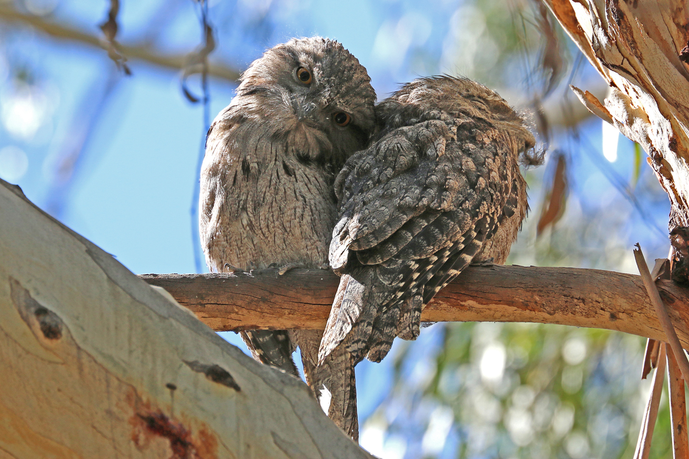 Tawny Frogmouth (Image ID 41964)