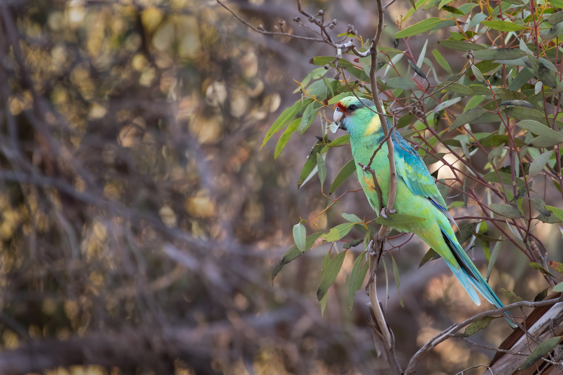 Australian Ringneck (Image ID 41751)