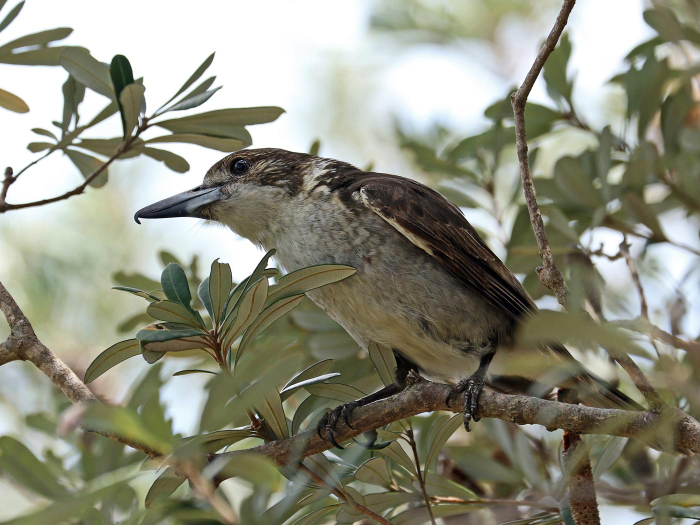 Grey Butcherbird (Image ID 42026)