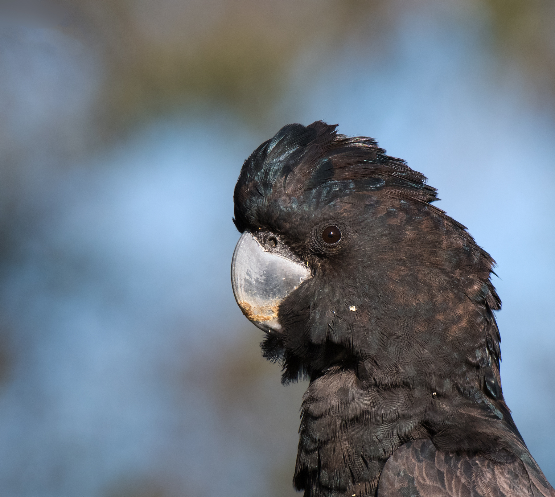 Red-tailed Black-Cockatoo (Image ID 41841)