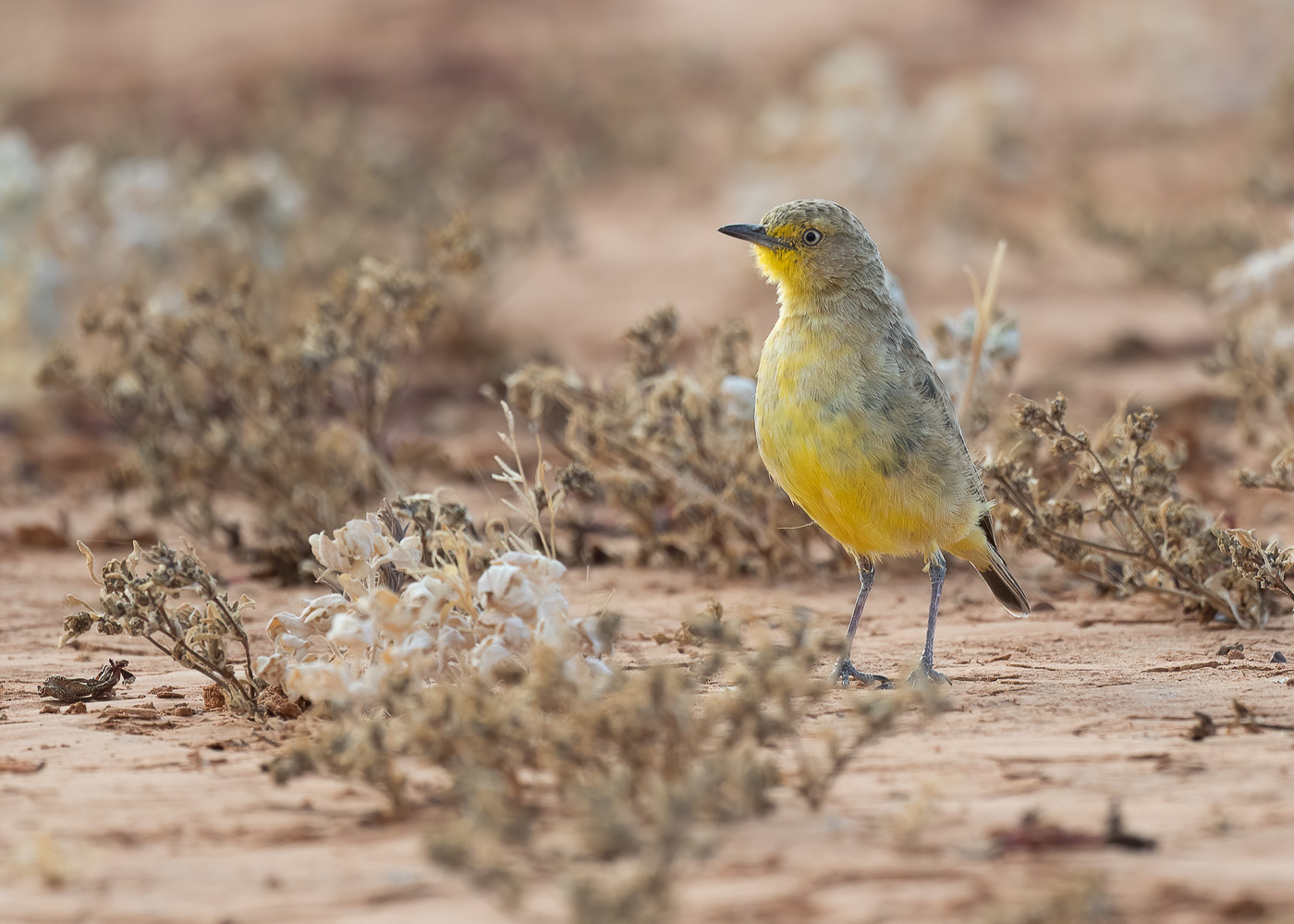 Gibberbird (Image ID 41843)