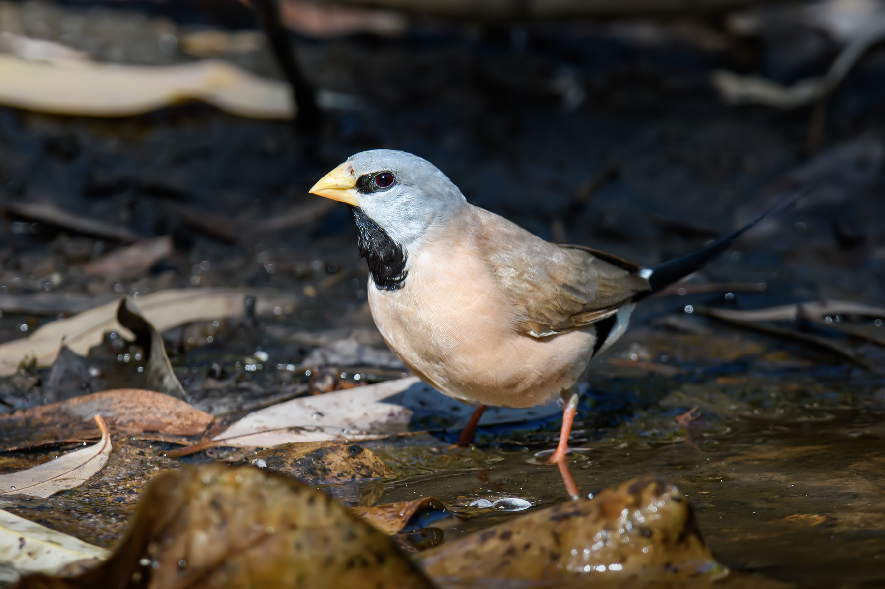 Long-tailed Finch (Image ID 41771)