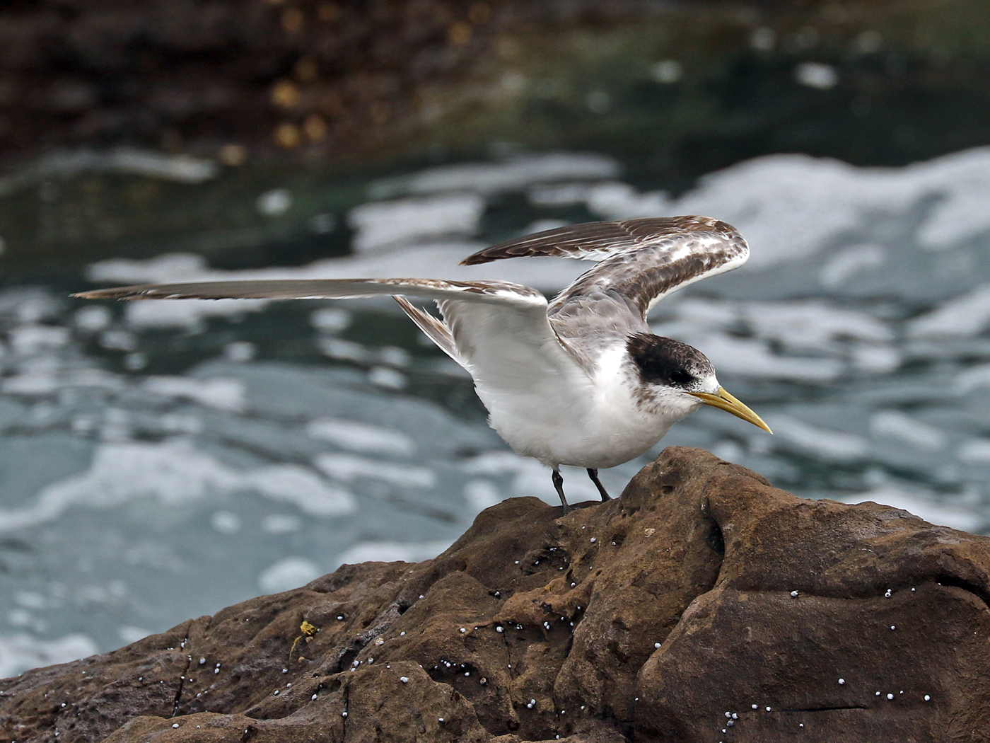 Greater Crested Tern (Image ID 41992)
