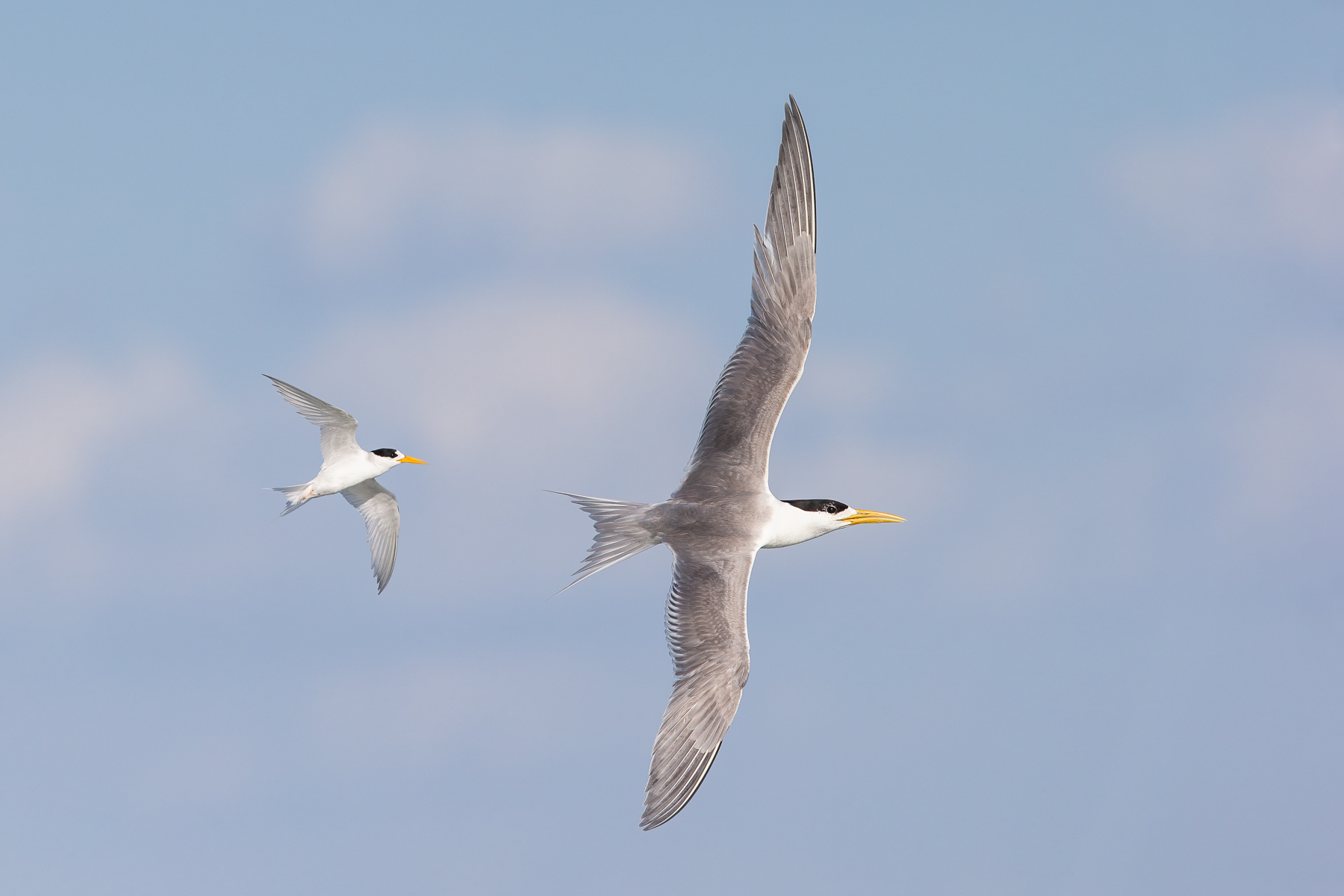 Fairy Tern, Greater Crested Tern (Image ID 41850)