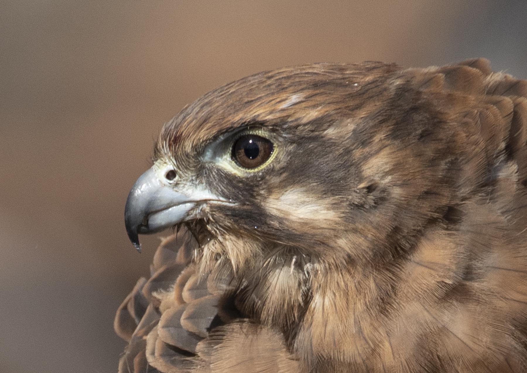 Brown Falcon (Image ID 41804)