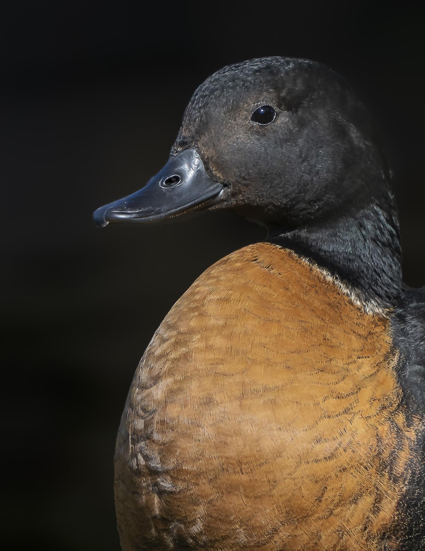 Australian Shelduck (Image ID 41674)