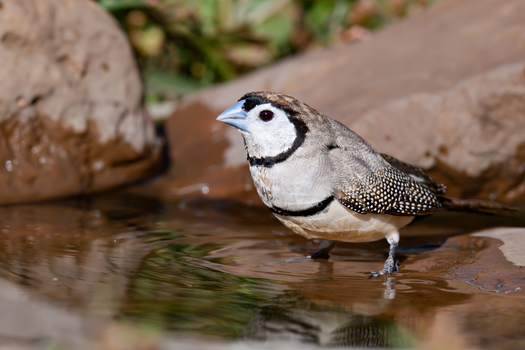 Double-barred Finch (Image ID 41709)