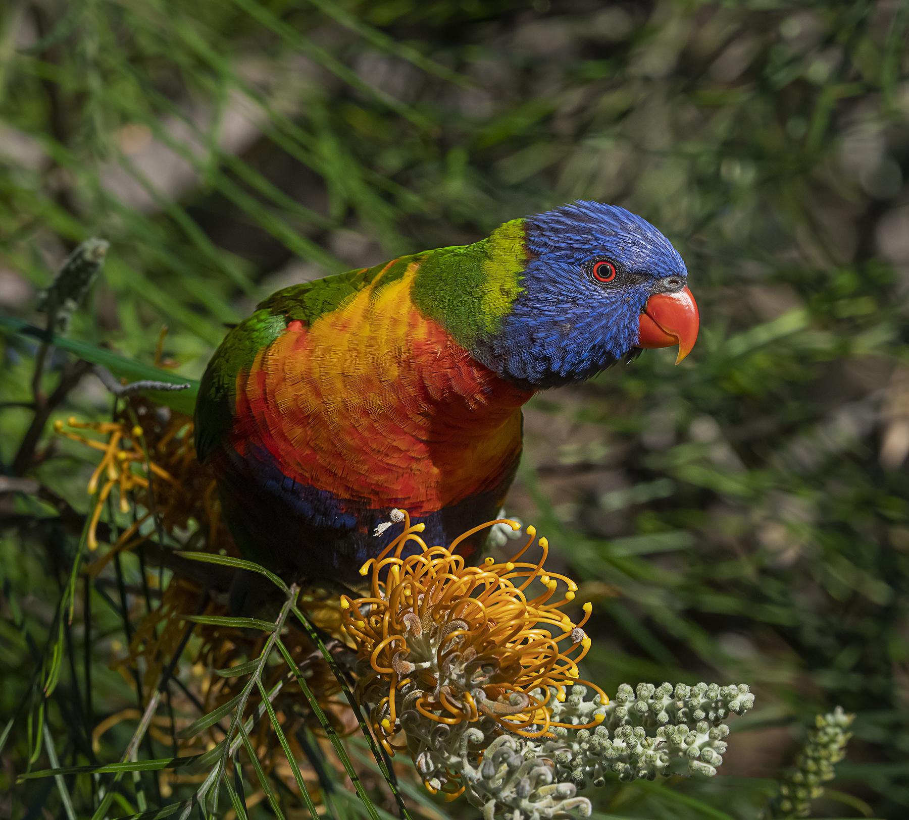 Rainbow Lorikeet (Image ID 41914)