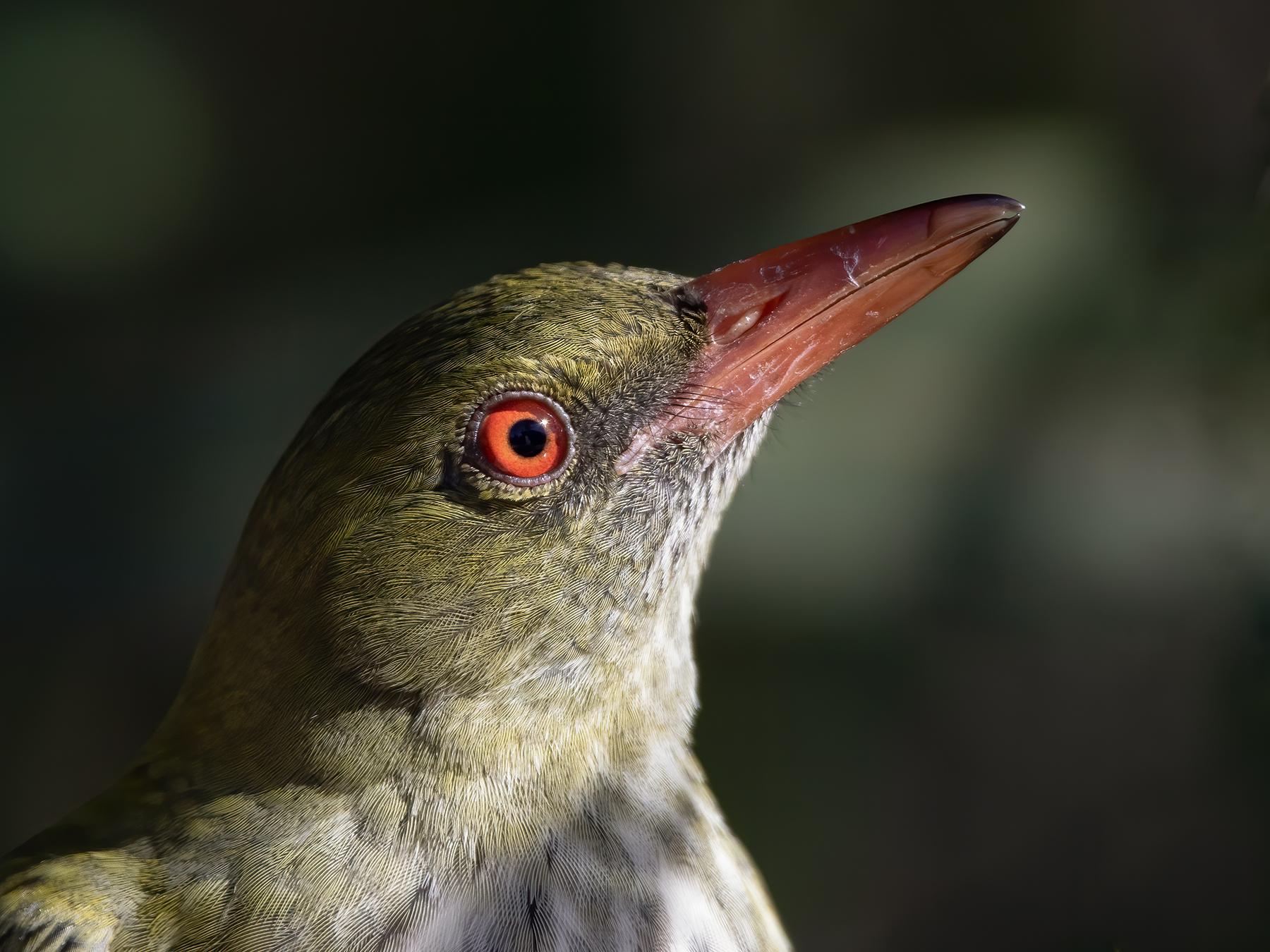 Olive-backed Oriole (Image ID 41630)