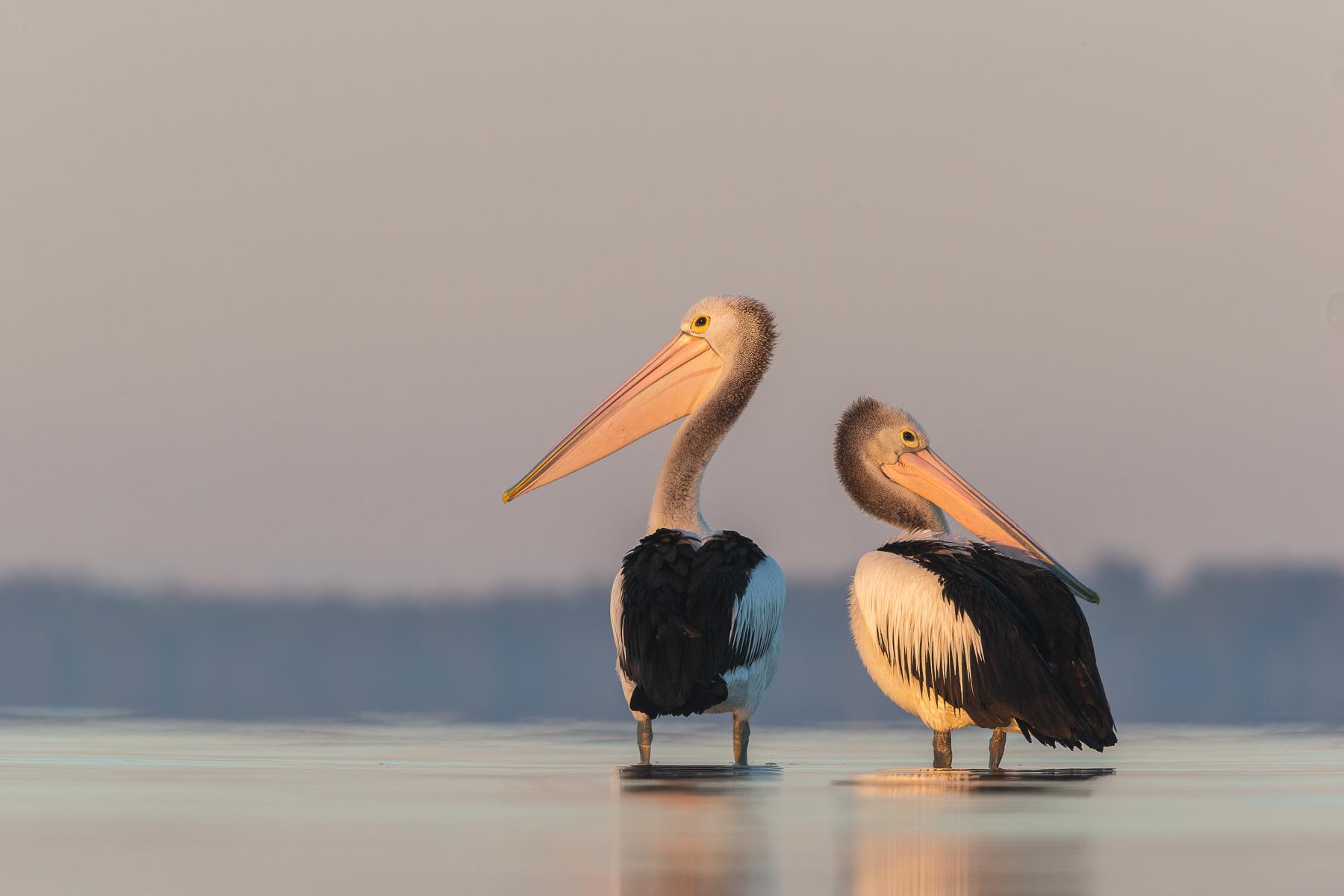 Australian Pelican (Image ID 41856)