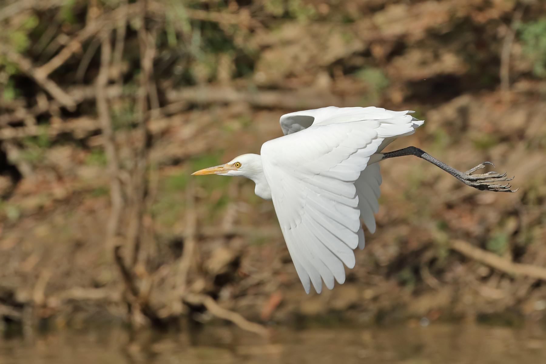 Plumed Egret (Image ID 41892)