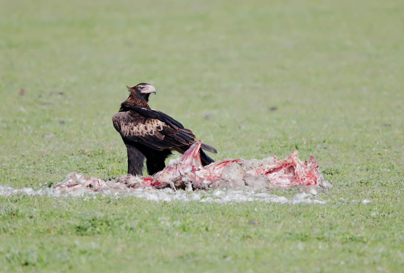Wedge-tailed Eagle (Image ID 42013)