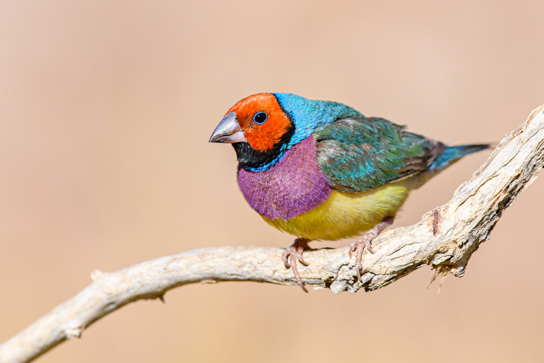 Gouldian Finch (Image ID 41711)