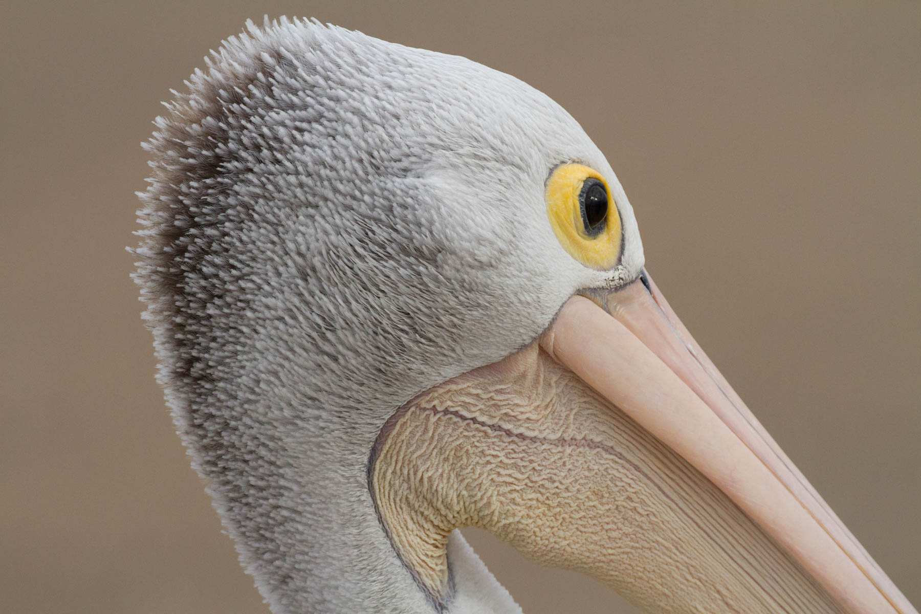 Australian Pelican (Image ID 41854)