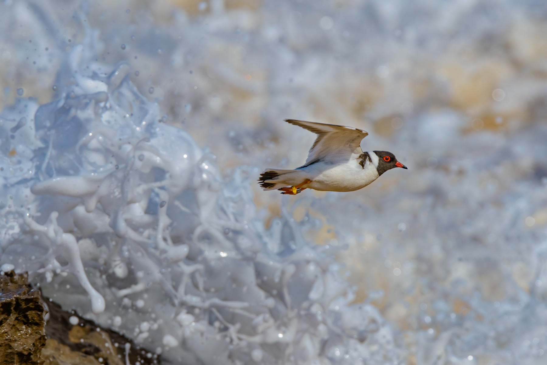 Hooded Plover (Image ID 41865)