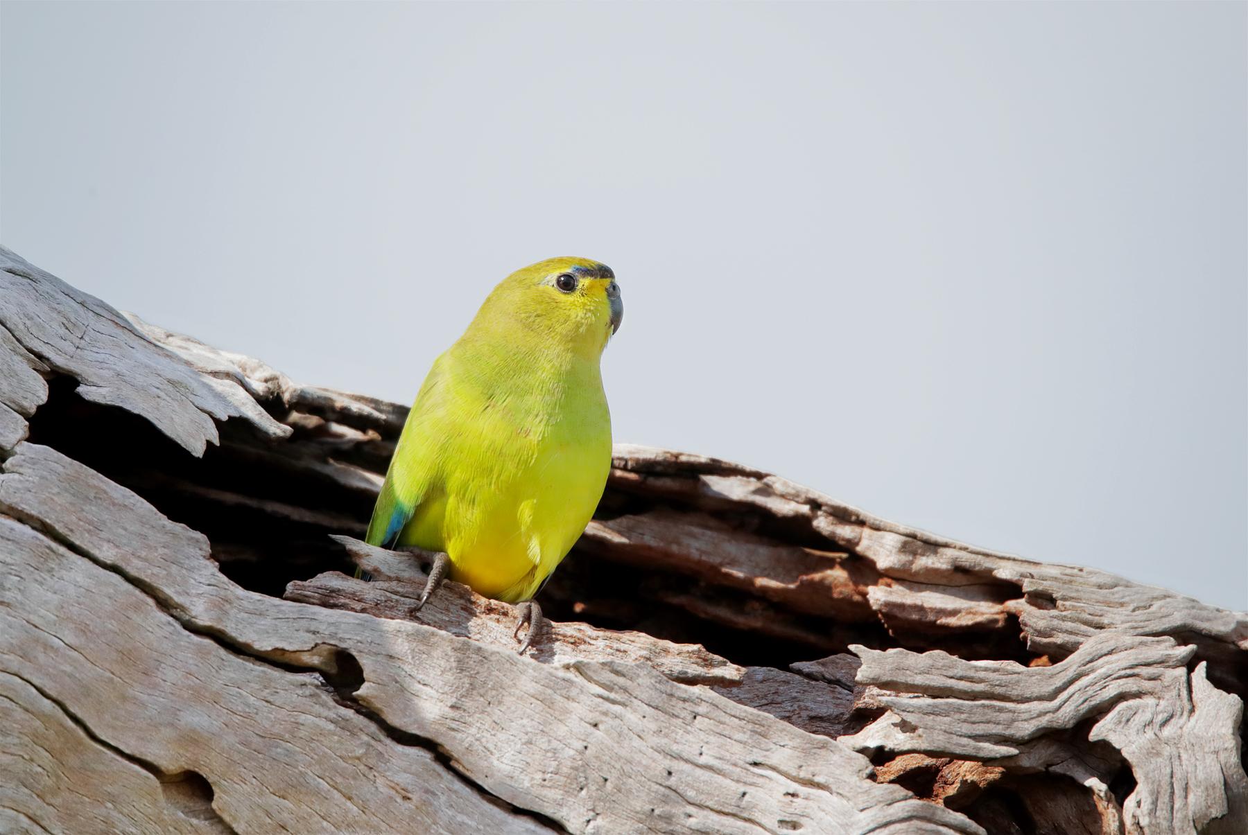 Elegant Parrot (Image ID 42015)