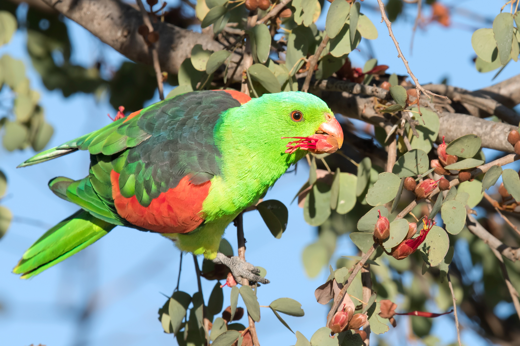 Red-winged Parrot (Image ID 41775)